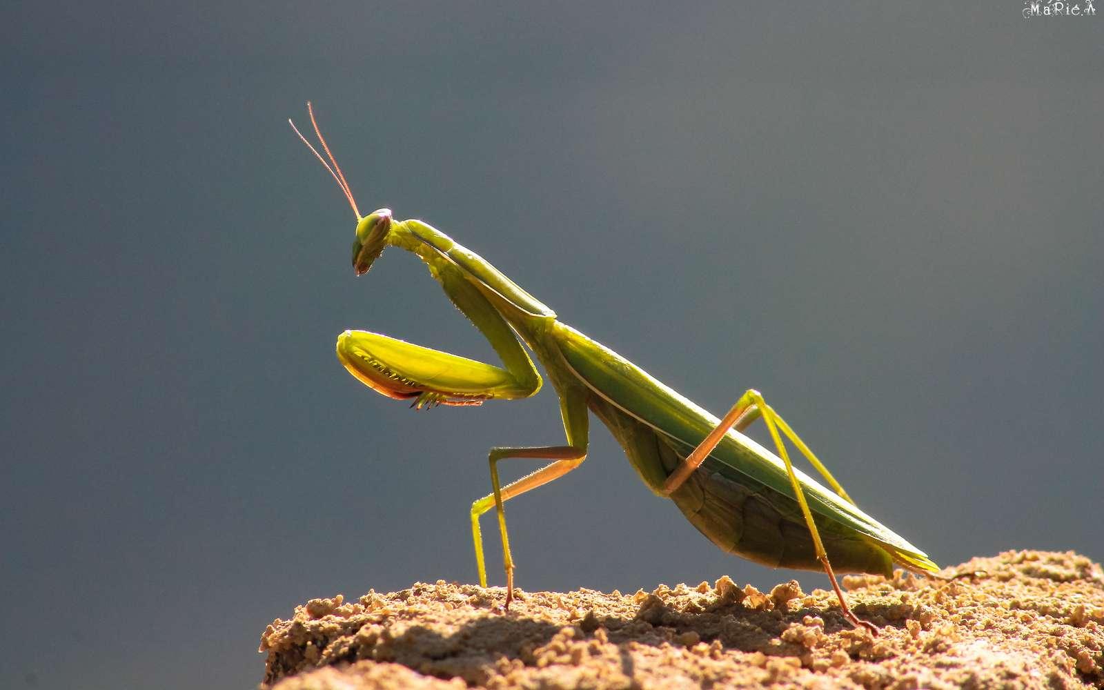 Les mantes religieuses (Mantis religiosa) sont des insectes hémimétaboles, leurs larves ressemblent aux adultes dès l'éclosion et peu de changements surviennent au moment de la sixième et dernière mue. © marie .A, Flickr, cc by nc nd 2.0