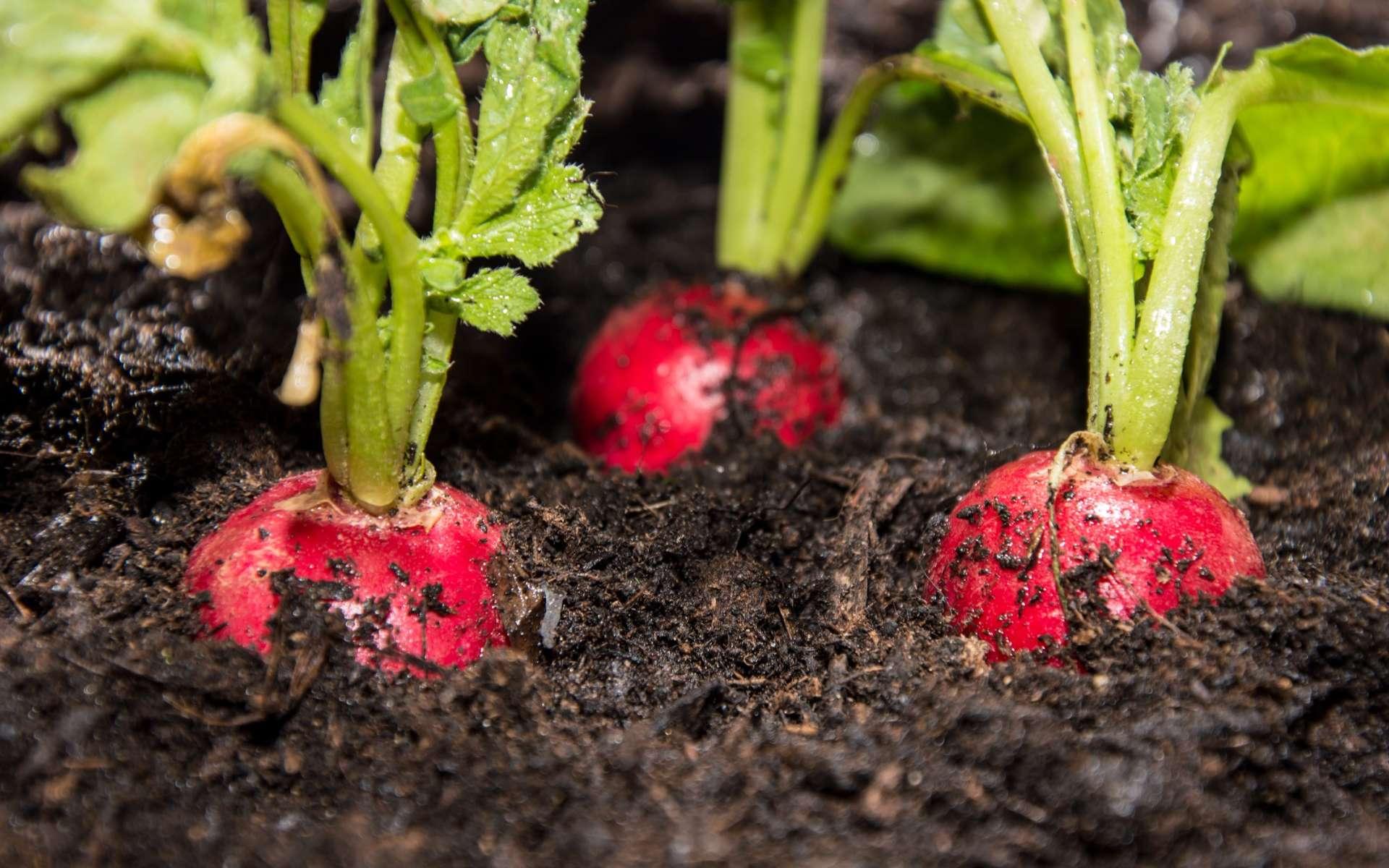 Geste 2 en 1 : la cueillette qui opère l'éclaircissage de jeunes radis. © HandmadePictures, Adobe Stock