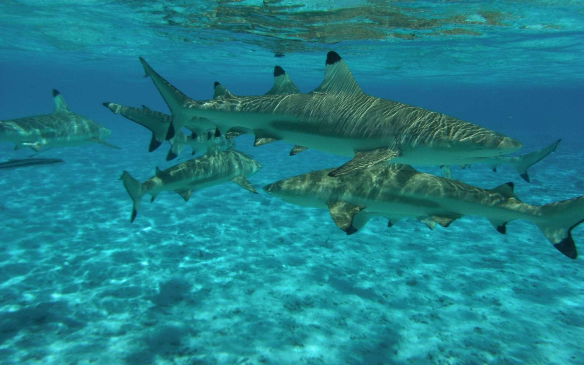 Requins à pointes noires à Bora Bora. © Supertoff, Wikimedias Commons by-sa 3.0