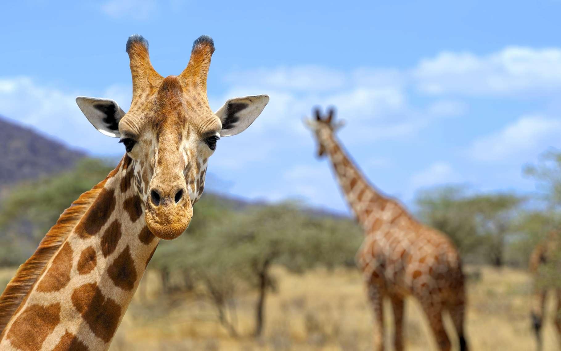 Girafes (Giraffa camelopardalis) dans le parc national d'Amboseli, au Kenya. © Volodymyr Burdiak, Shutterstock
