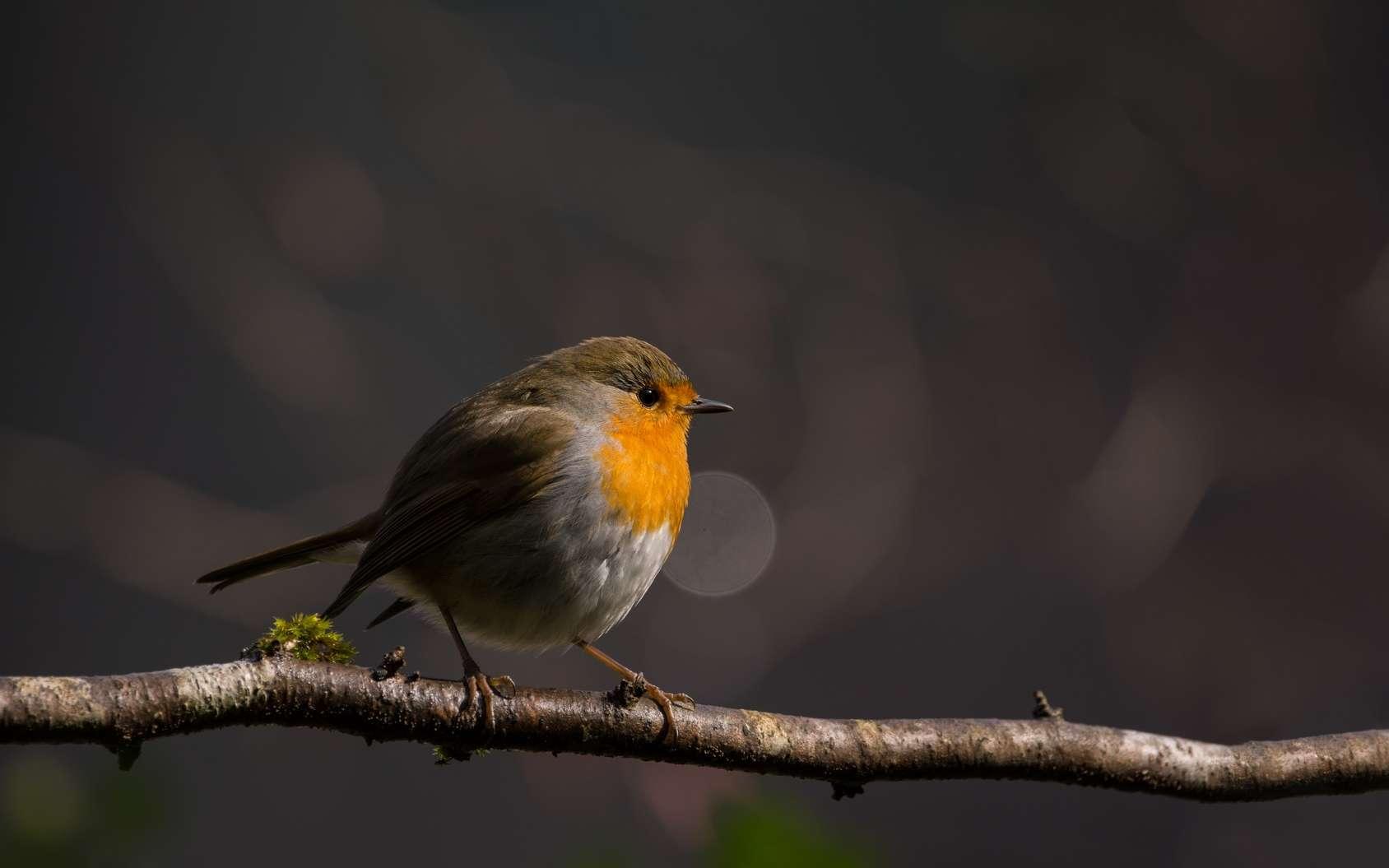 De moins en moins d'oiseaux peuplent nos campagnes. © Marc Andreu, Fotolia