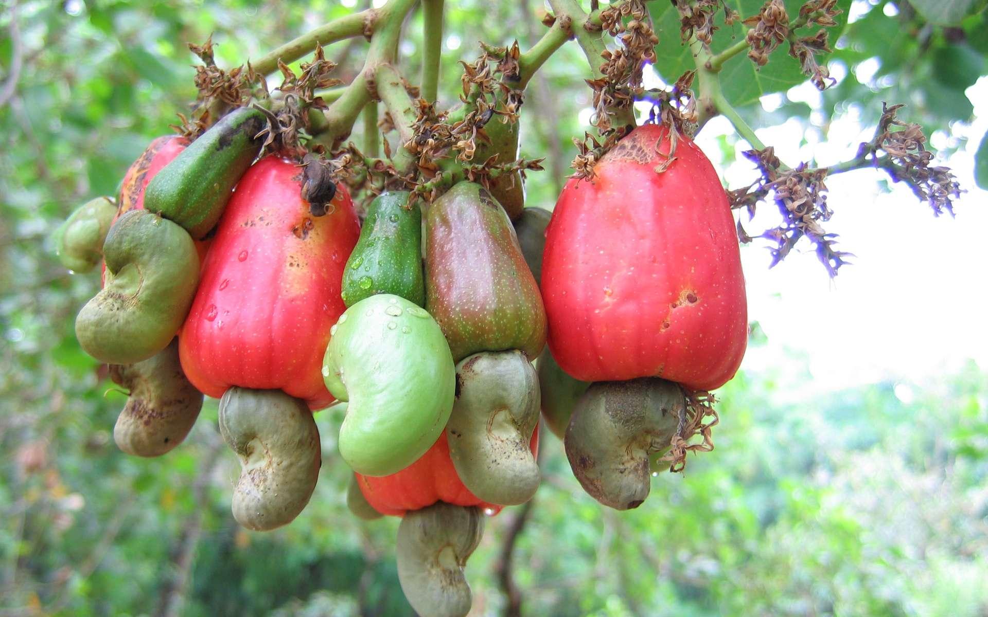 La noix de cajou se trouve au bout d'une tige charnue appelée pomme de cajou. © Vinayaraj, Wikipédia, CC by-sa 3.0