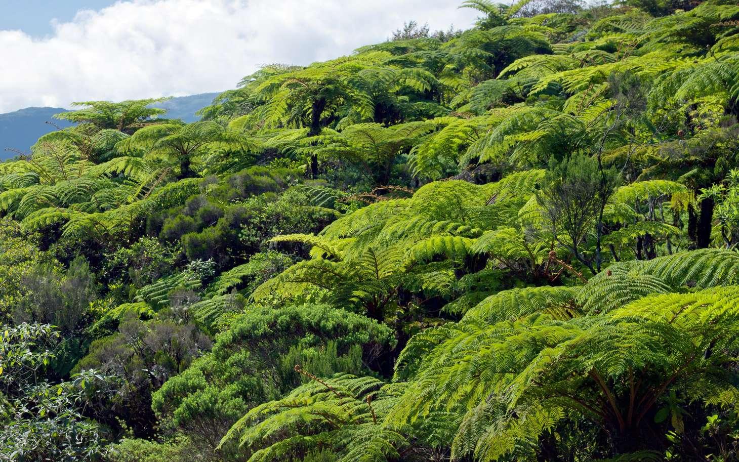 En raison des activités humaines, les plantes disparaissent à un rythme 500 fois supérieur à la normale. Forêt de fougères arborescentes sur l'Île de la Réunion. © Frog974, Fotolia