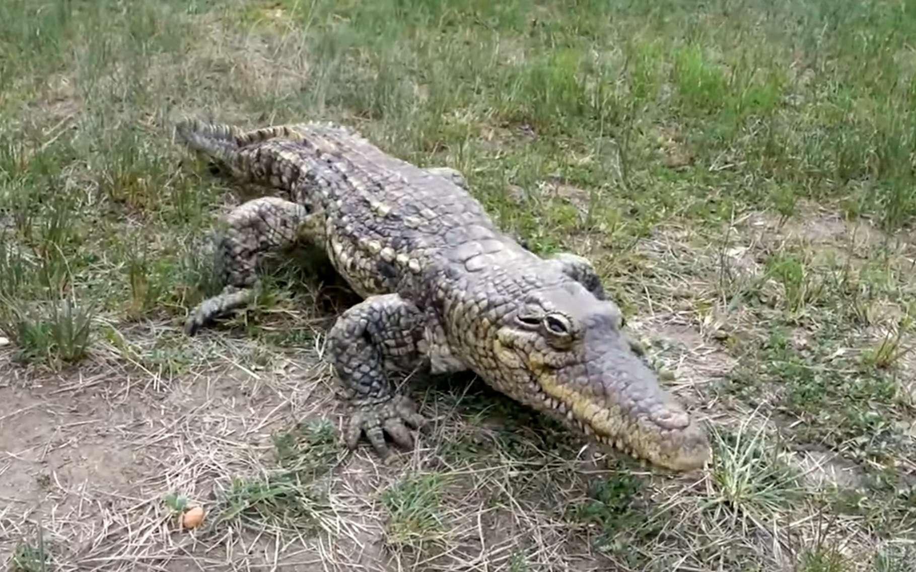 Ne vous fiez pas aux apparences, ce crocodile est un robot ! © EPFL, BBC