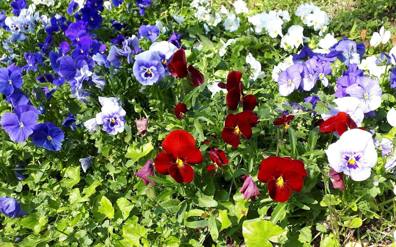 Dès le début du printemps, fleurir les massifs et potées avec des pensées. © S. Chaillot
