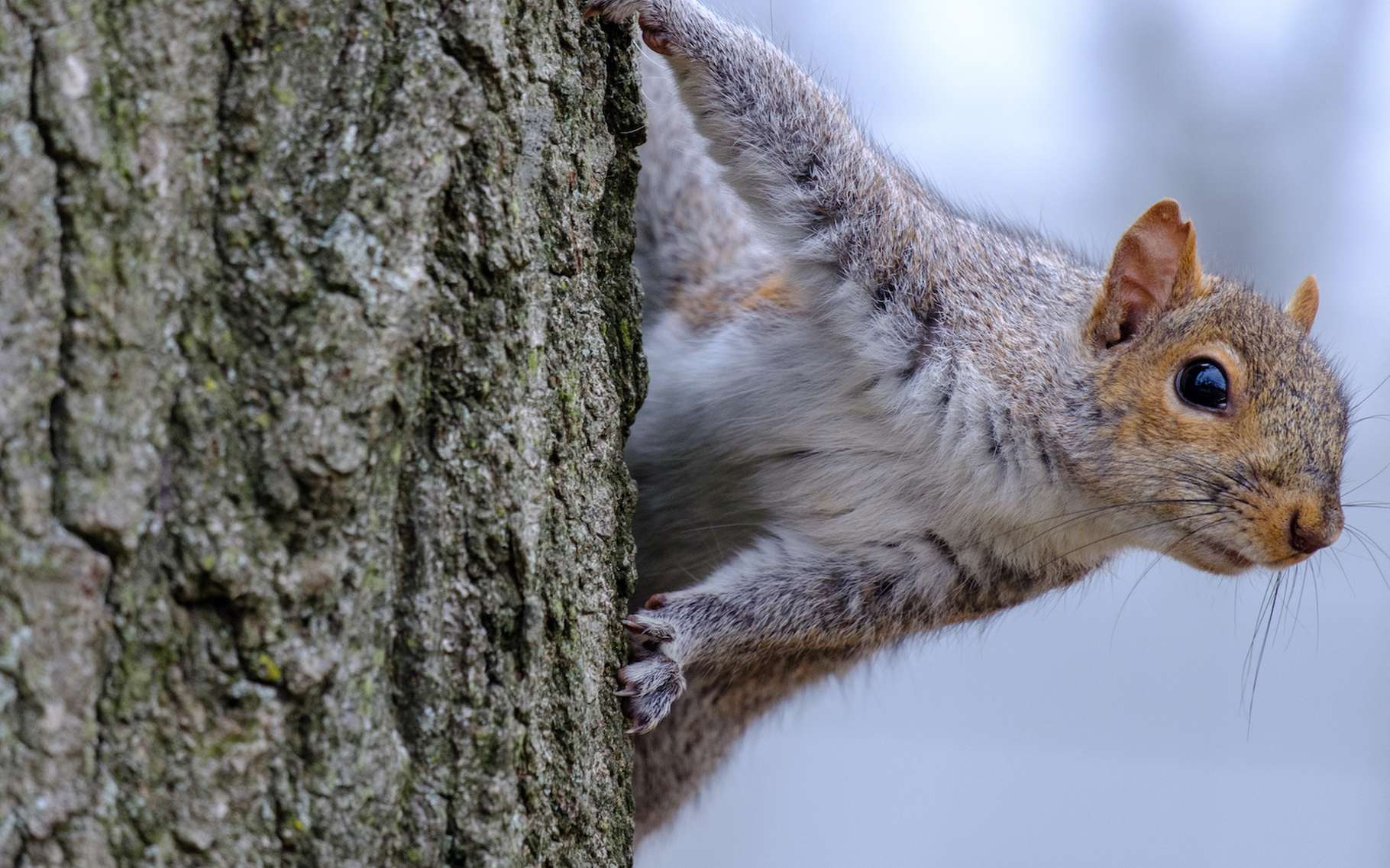 L'écureuil gris est originaire d'Amérique du nord. En Europe, il est considéré comme une espèce invasive qui concurrence son cousin, l'écureuil roux et nuit aux arbres en les écorçant. Mais il ne figure pas au top 5 des espèces invasives qui nous coûtent le plus cher. © quietbits, Adobe Stock