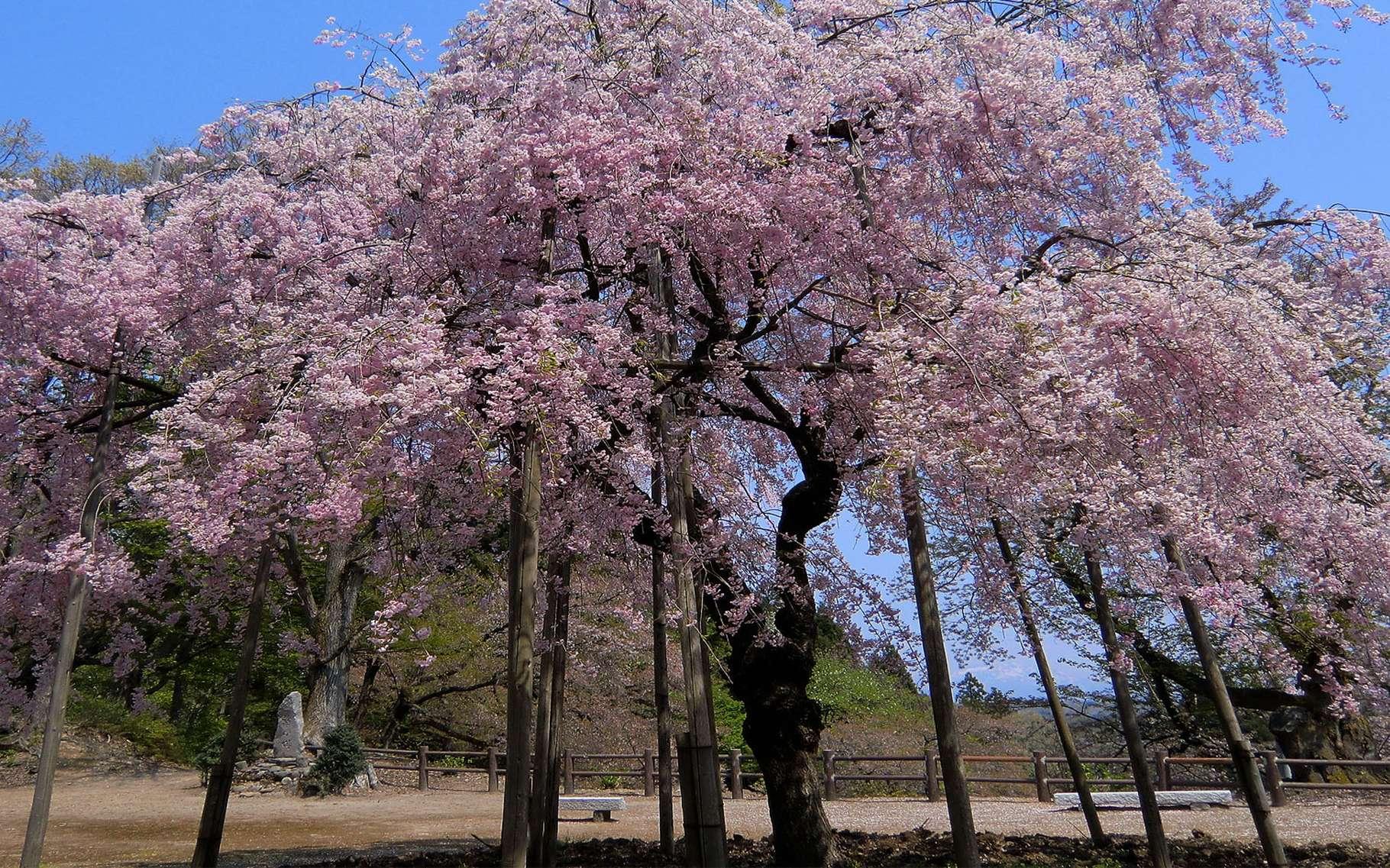 Hauteur Cerisier Du Japon définition | cerisier d'hiver - prunus subhirtella | futura
