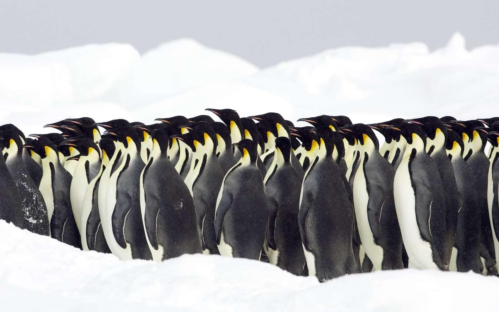 L'opération Penguin Watch vous invite à dénombrer les manchots de différentes colonies de l'hémisphère sud, par espèce, photographiées chaque jour depuis plusieurs années. © BMJ, shutterstock.com