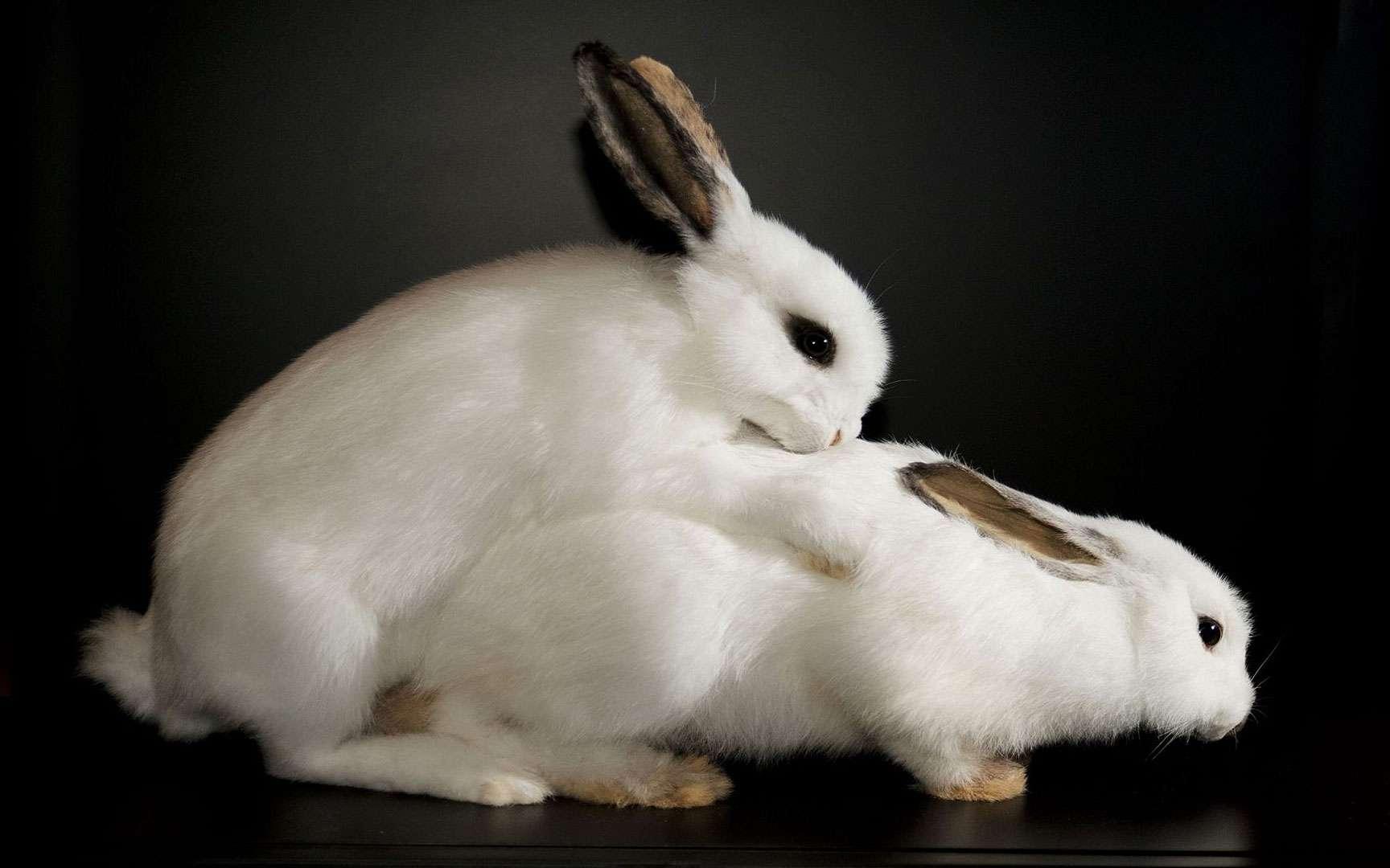 La reproduction des lapins. Les pratiques sexuelles et la reproduction des lapins sont entrées dans le langage courant. On dit, par exemple, « faire l'amour comme des lapins ». Cela n'a rien d'étonnant puisque les mâles sont littéralement obsédés et, selon l'expression consacrée, « sautent sur tout ce qui bouge ». N'en déplaise à notre moralité, la mère et les sœurs figurent parfois sur le tableau de chasse du lapin. En découlent, au bout d'un mois environ, des portées nombreuses, qui atteindront la maturité sexuelle en six mois environ. Une estimation théorique considère qu'un couple de lapins peut engendrer durant sa vie entière près de 2.000 descendants (même si tous ne survivent pas). Il faut bien jouer sur la quantité étant donné le nombre de prédateurs qui intègrent ces rongeurs aux grandes oreilles à leur menu. © Sexual Nature, London's Natural History Museum