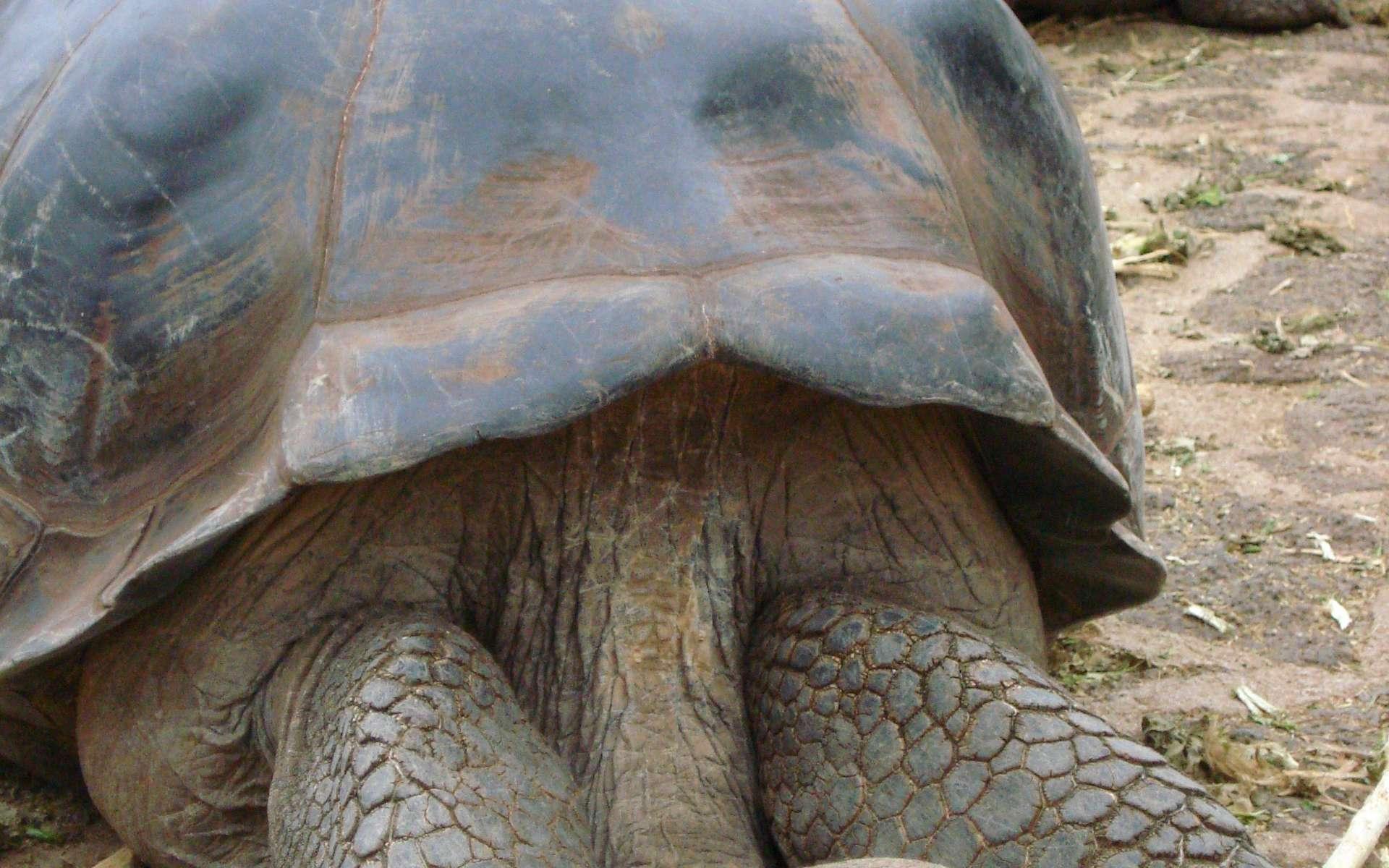 Les tortues géantes des Galápagos regroupent dix espèces dont Geochelone nigra. Elles constituent les animaux les plus emblématiques de cet archipel. © NOAA, DP