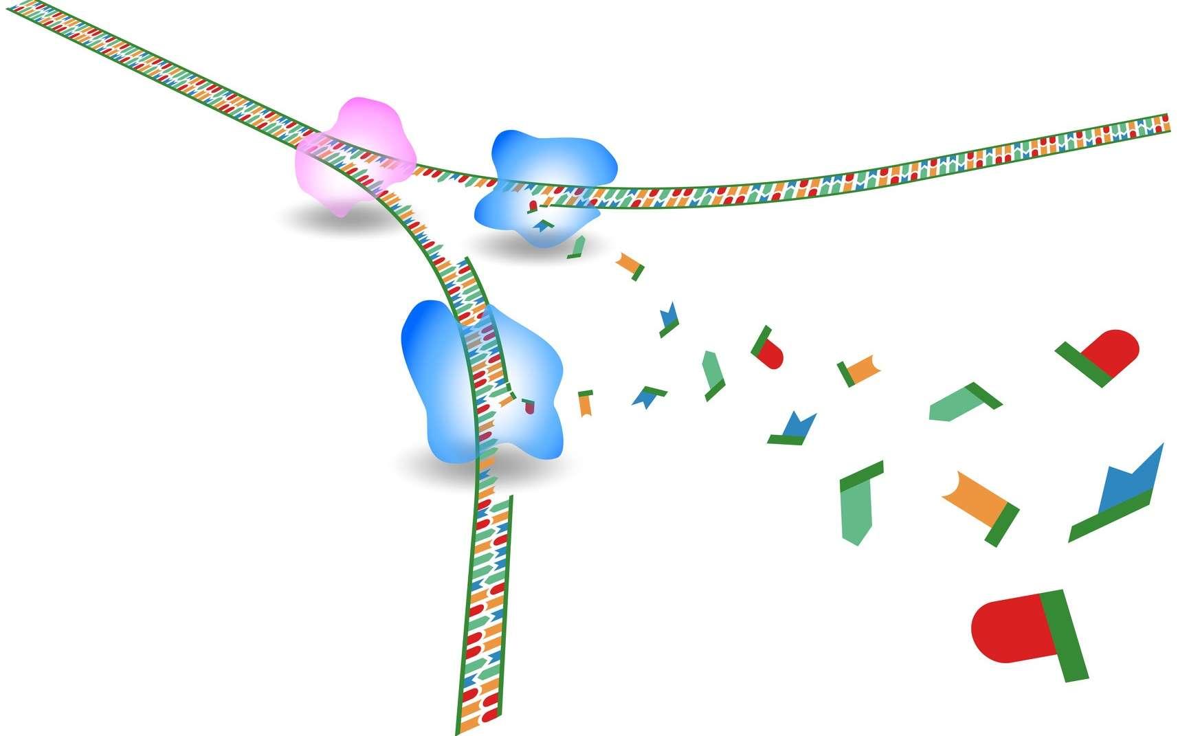 L'ADN polymérase est l'enzyme qui catalyse la réplication de l'ADN. © deusin, Fotolia