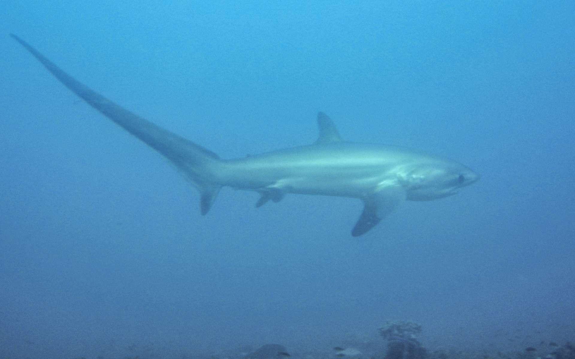 Les requins-renards constituent une famille composée de trois espèces : le requin-renard commun (à l'image), le requin-renard pélagique et le requin-renard à gros yeux. © Petter Lindgren, Wikipédia, cc by sa 3.0