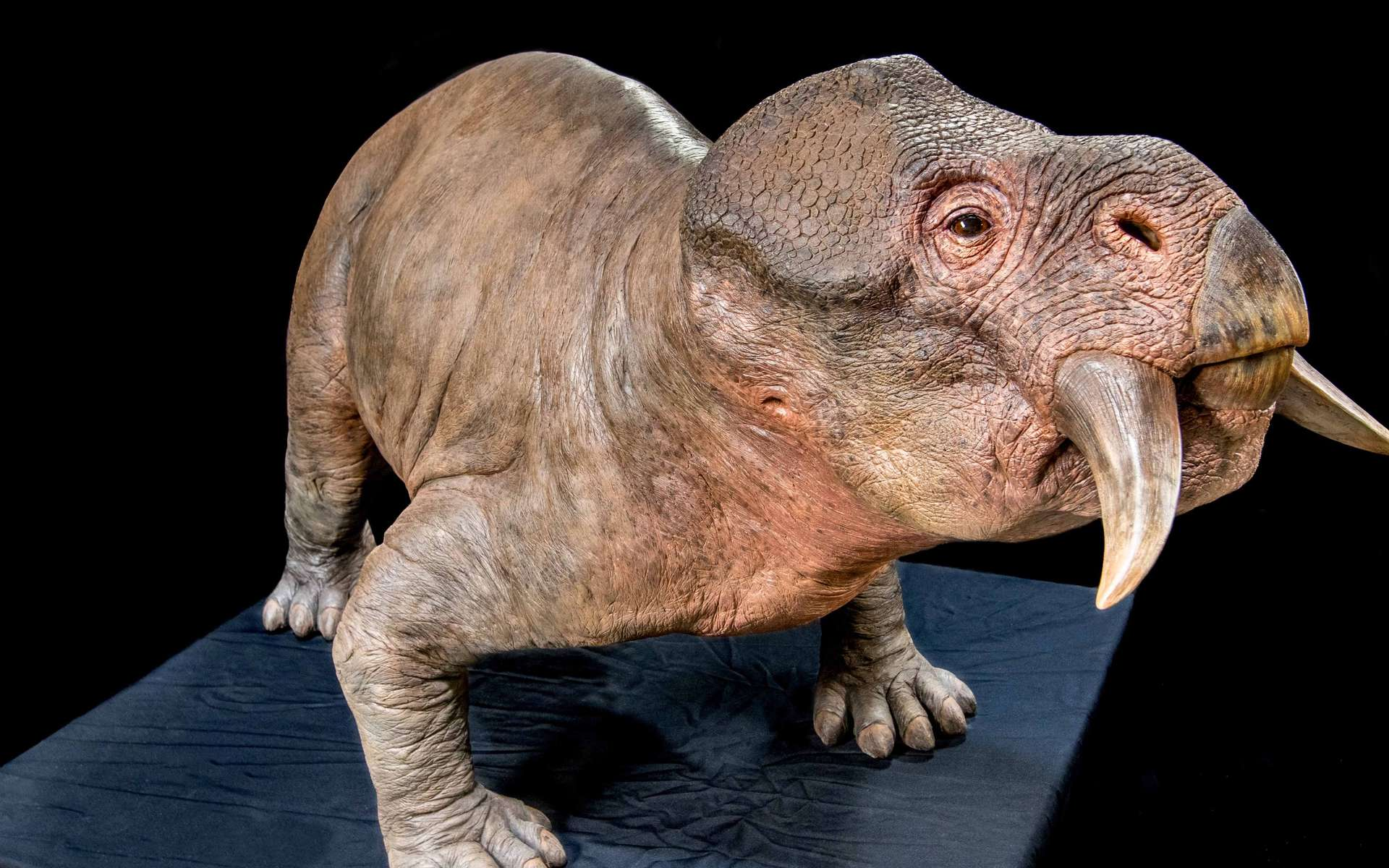 Reconstitution d'un Lystrosaurus. © Dinopédia