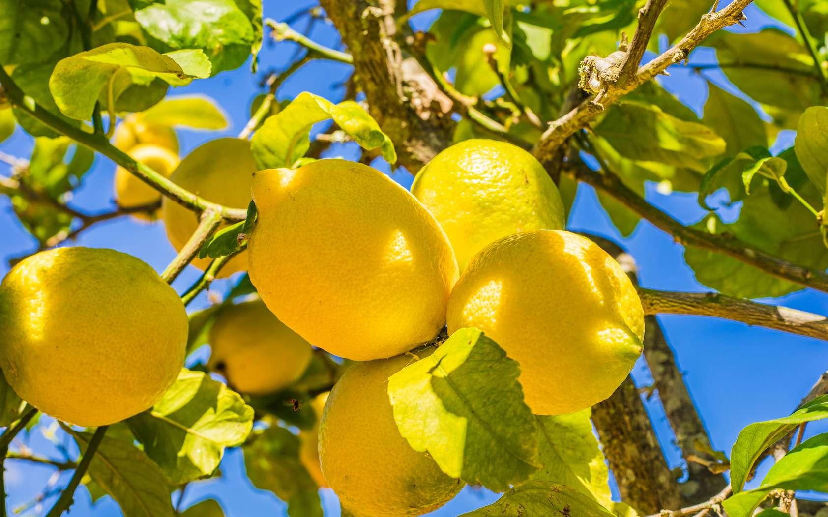 Le citron est un fruit gorgé de vitamine C. © Wikimedia Commons