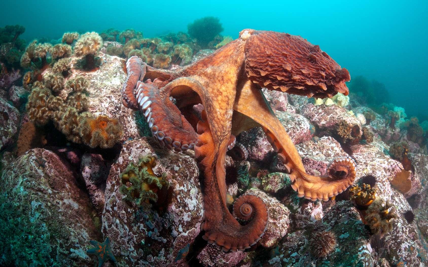 Il n'y aurait pas qu'une espèce de pieuvres géantes du Pacifique. © Anion, Fotolia