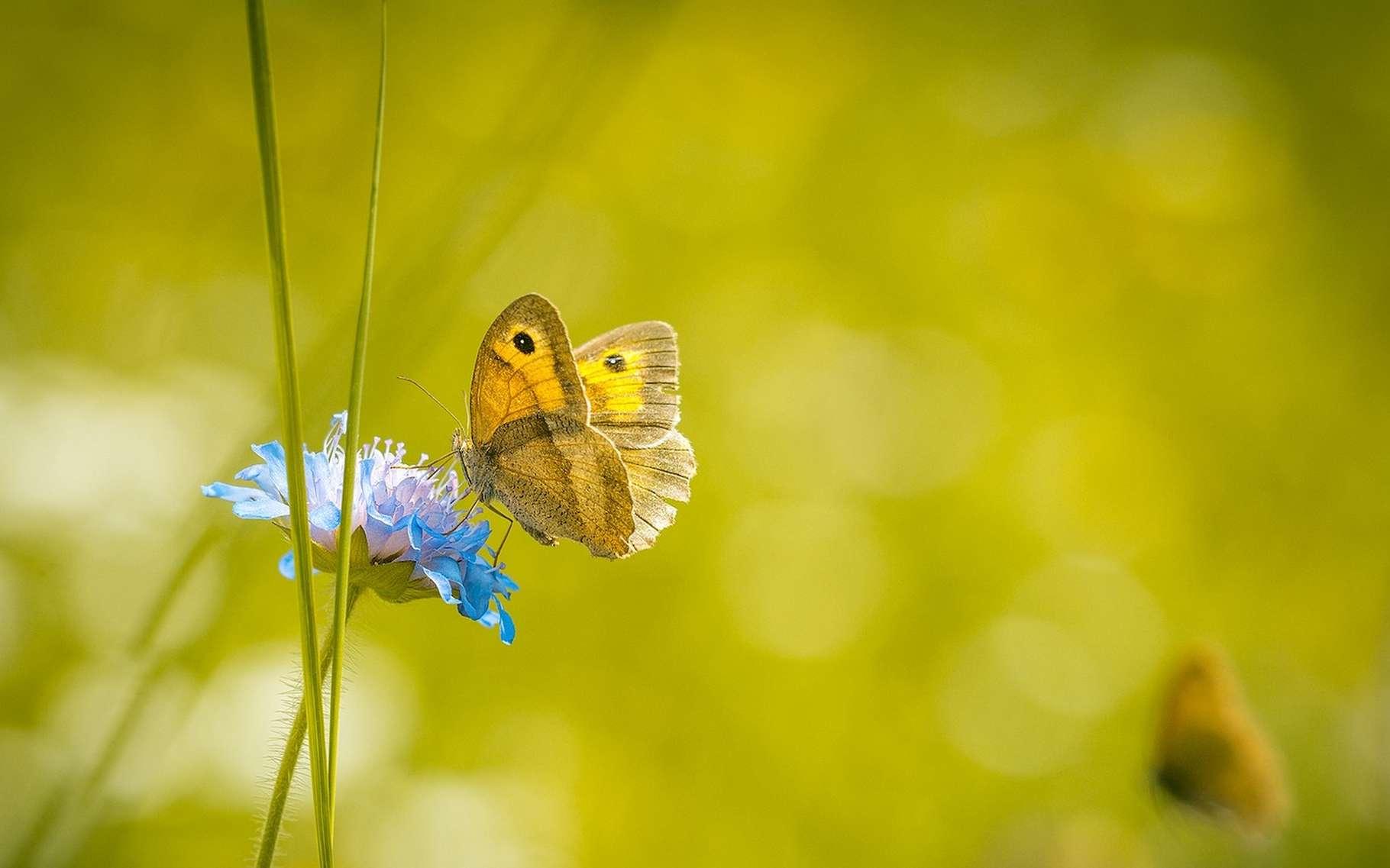 Les papillons font partie des insectes terrestres dont la population chute. © Pezibear, Pixabay