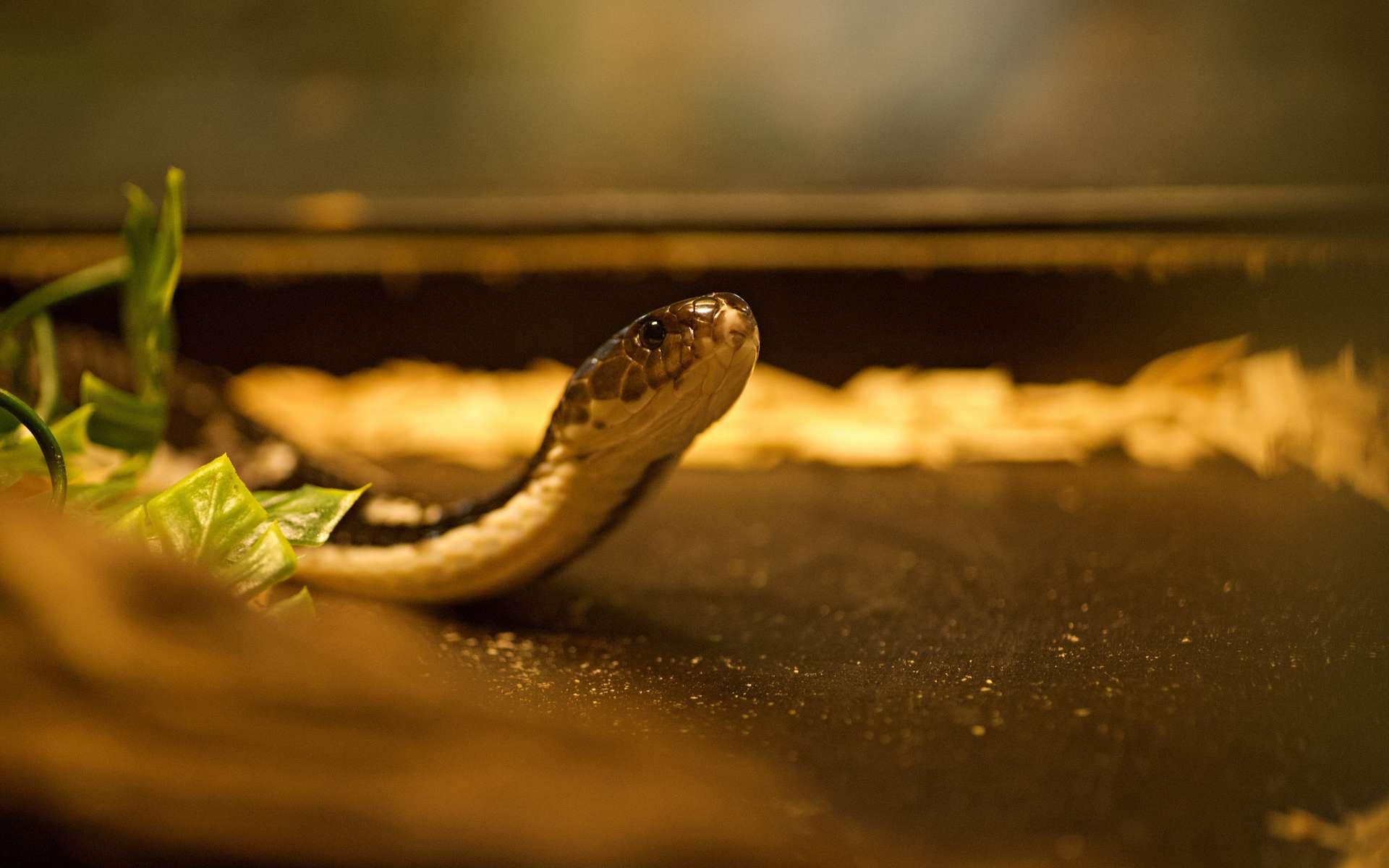 Les serpents venimeux sont des animaux qui ont avant tout peur de l'Homme. Que faire lorsqu'on en rencontre un ? © mathisprod, Adobe Stock