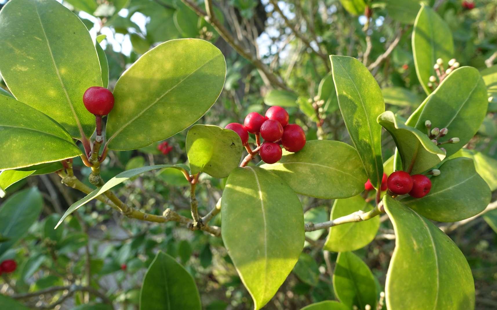 Tailler un arbuste pour lui donner une forme harmonieuse. © Miluz, Flickr, CC BY 2.0