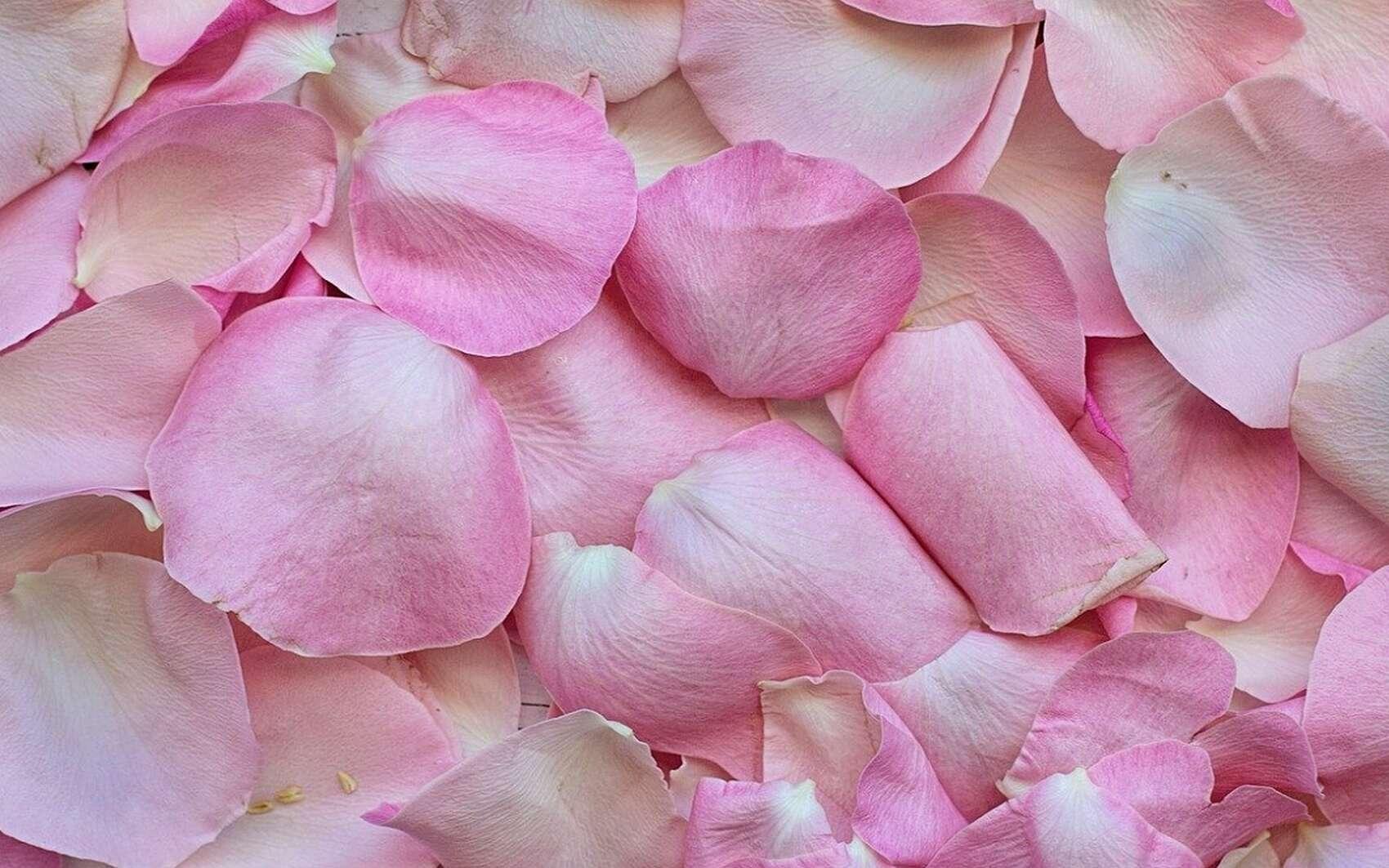 D'où vient l'hydrolat de rose et quelles sont ses vertus ? © JillWellington, Pixabay