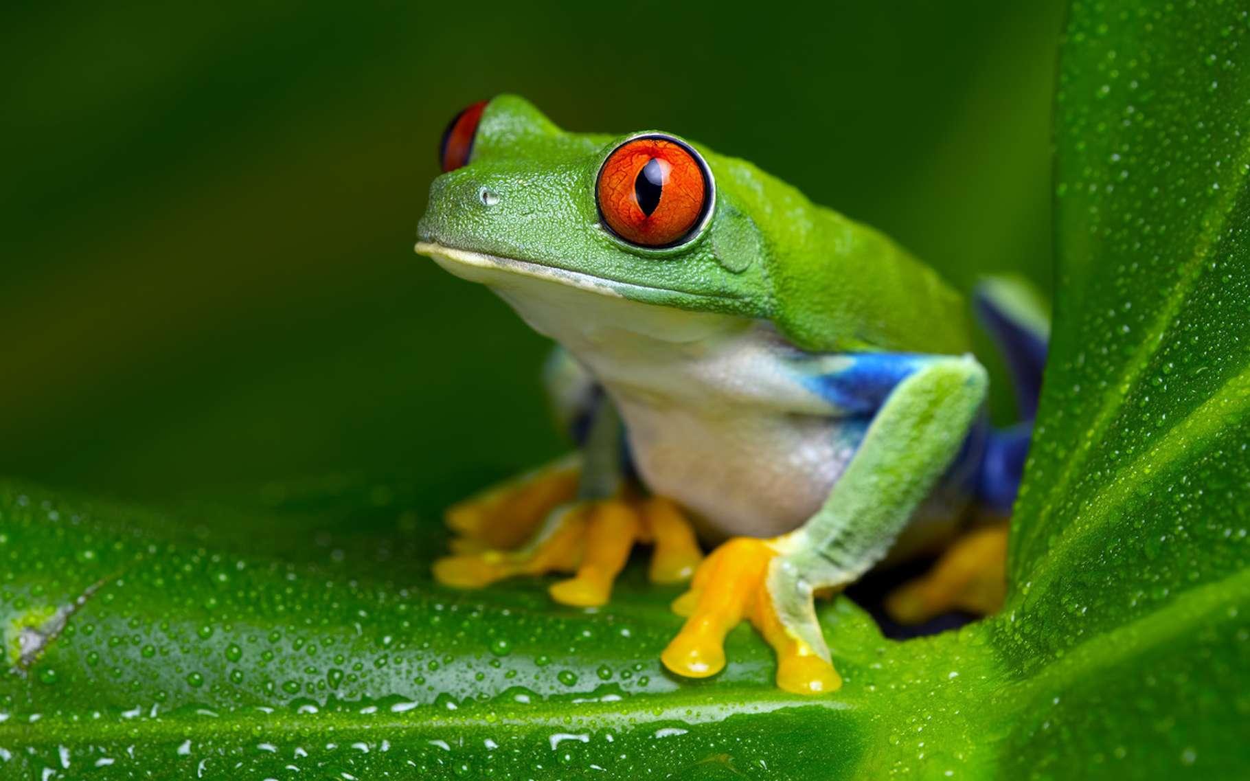 Hypsiboas punctatus – ici, une grenouille arboricole originaire d'Amérique du Sud, comme elle – est le premier amphibien à montrer des capacités de fluorescence. © davemhuntphoto, Fotolia