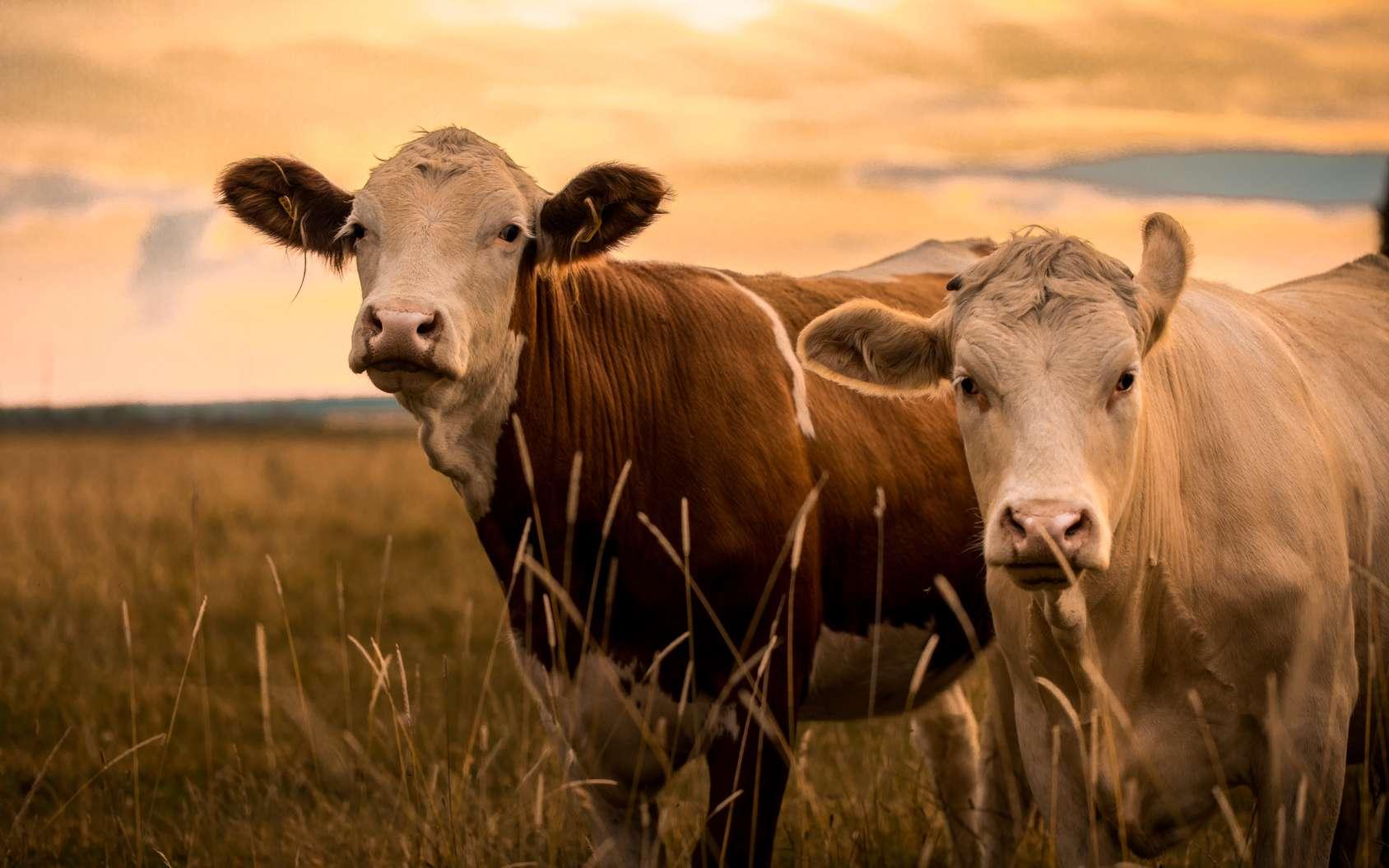 Deux vaches au crépuscule. © Jonathan Rundblad, Fotolia