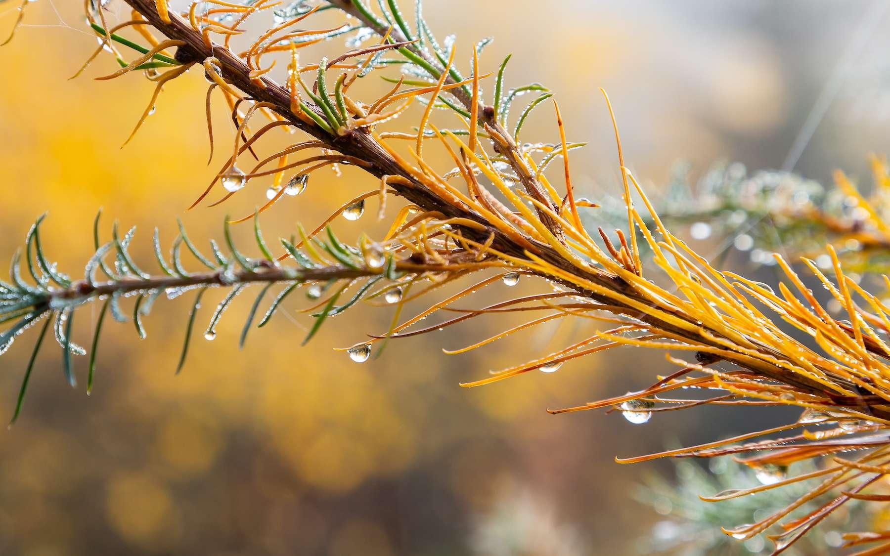 Le mélèze perd ses aiguilles en automne. © Branko Srot, Adobe Stock