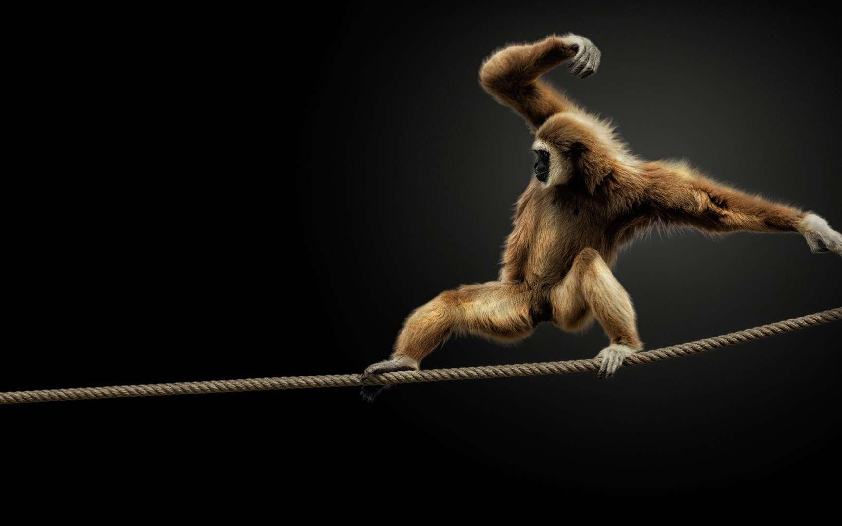 Les gibbons à mains blanches, Hylobates lar, ou tout simplement gibbons, sont des singes de la jungle du sud-est asiatique. Ils se déplacent de toutes sortes de manières, y compris par la marche bipède, par la course ou par le saut. Mais ils se caractérisent par leurs aptitudes acrobatiques particulières. Ils n'ont pas de queue et ont des bras longs et forts qui leur permettent de se déplacer entre les arbres. Ils font parfois des bons de 15 mètres.Ils forment des couples monogames. Et ils communiquent par des cris caractéristiques. Pour défendre leur territoire, les mâles chantent à l'unisson. © Pedro Jarque Krebs, reproduction interdite.