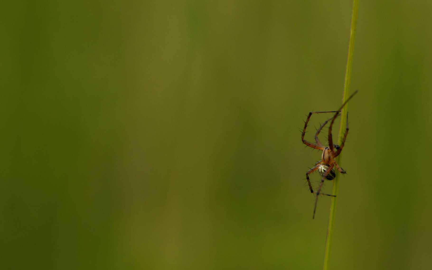 Souvent, les araignées font peur. C'est en partie par méconnaissance. Car la plupart sont inoffensives. Elles sont parfois même très ingénieuses. Si si, les chercheurs l'affirment : les araignées ne sont… pas si bête. © AMAR, Adobe Stock
