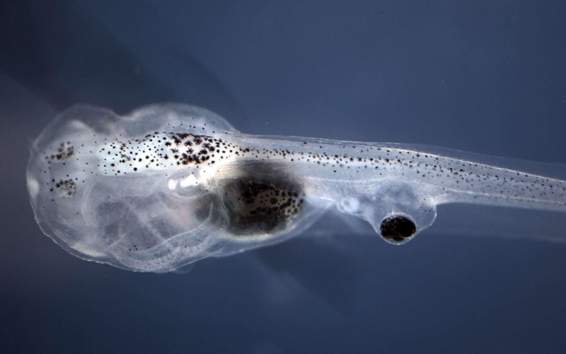 Un œil implanté sur la queue du têtard lui permet de voir. © Allen Discovery Center at Tufts University