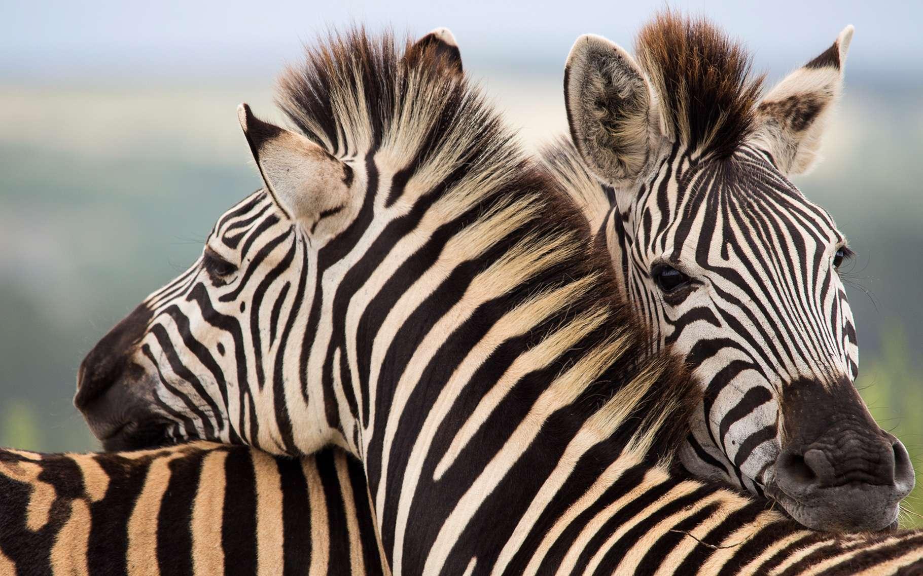 Les rayures du zèbre ont-elles un rôle ? © francesco de marco, Shutterstock
