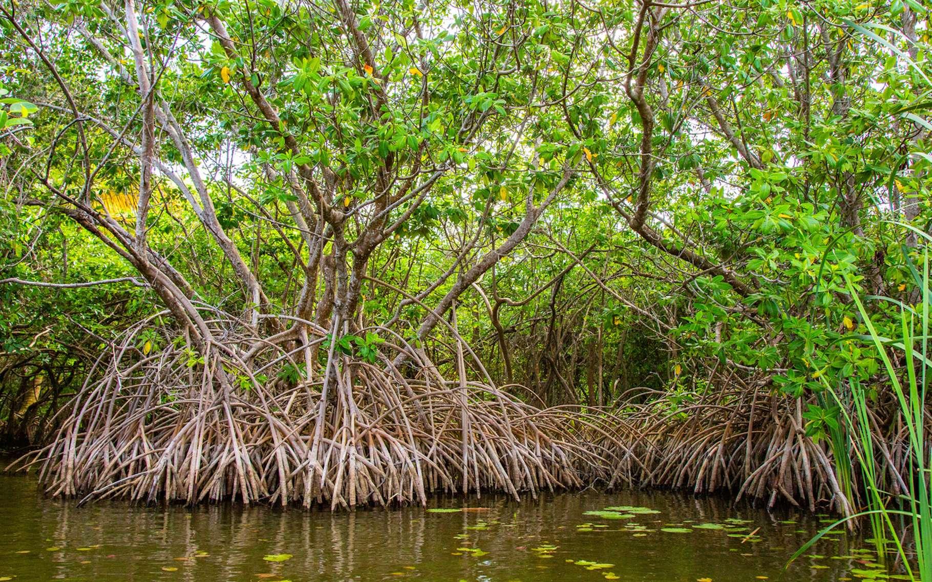 En première approximation, on peut dire qu'une mangrove est une forêt les pieds dans l'eau. © danydory, Pixabay, CC0 Creative Commons