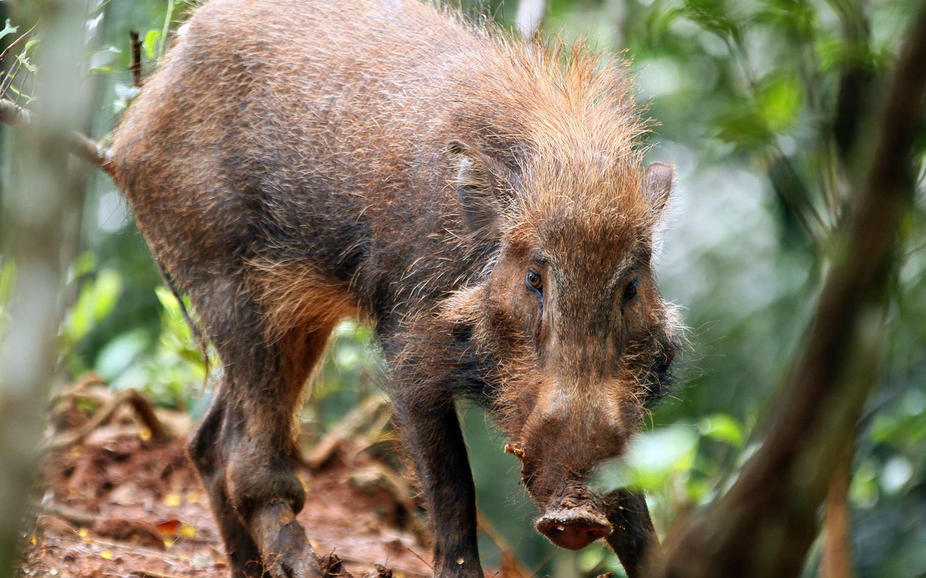Des chercheurs ont, pour la première fois, filmé des porcs verruqueux de Java, connus aussi sous le nom de «cochons les plus laids du monde», en liberté. © ling Iryantoro, Flickr, tous droits réservés