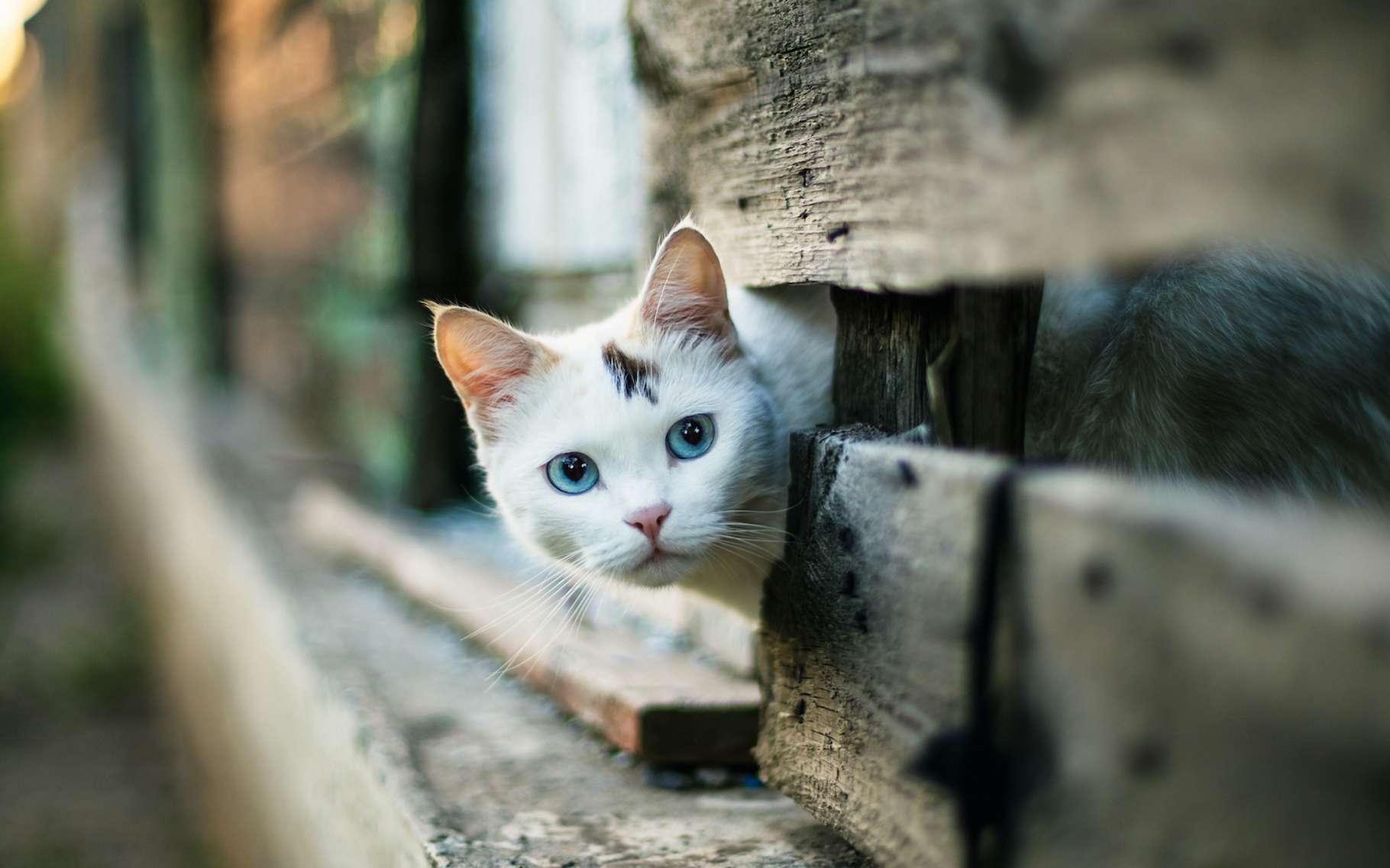 Une expérience laisse penser que les chats pourraient être capables d'imiter les comportements humains. © bearok, Adobe Stock
