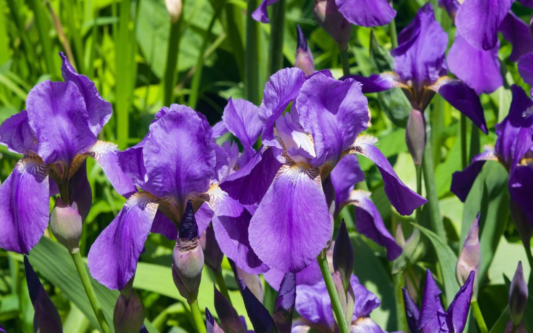 Floraison d'iris. © argenlant, fotolia