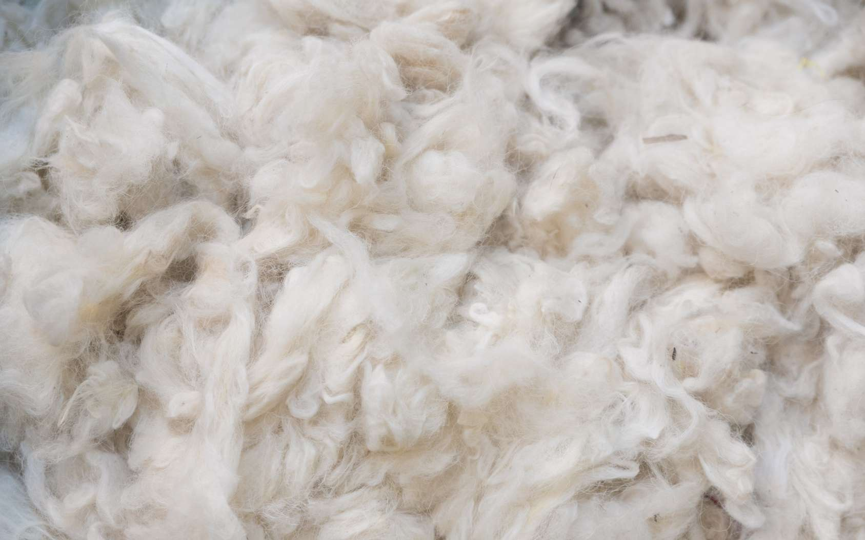 La laine mérinos est la plus fine au monde. © mastersky, Fotolia