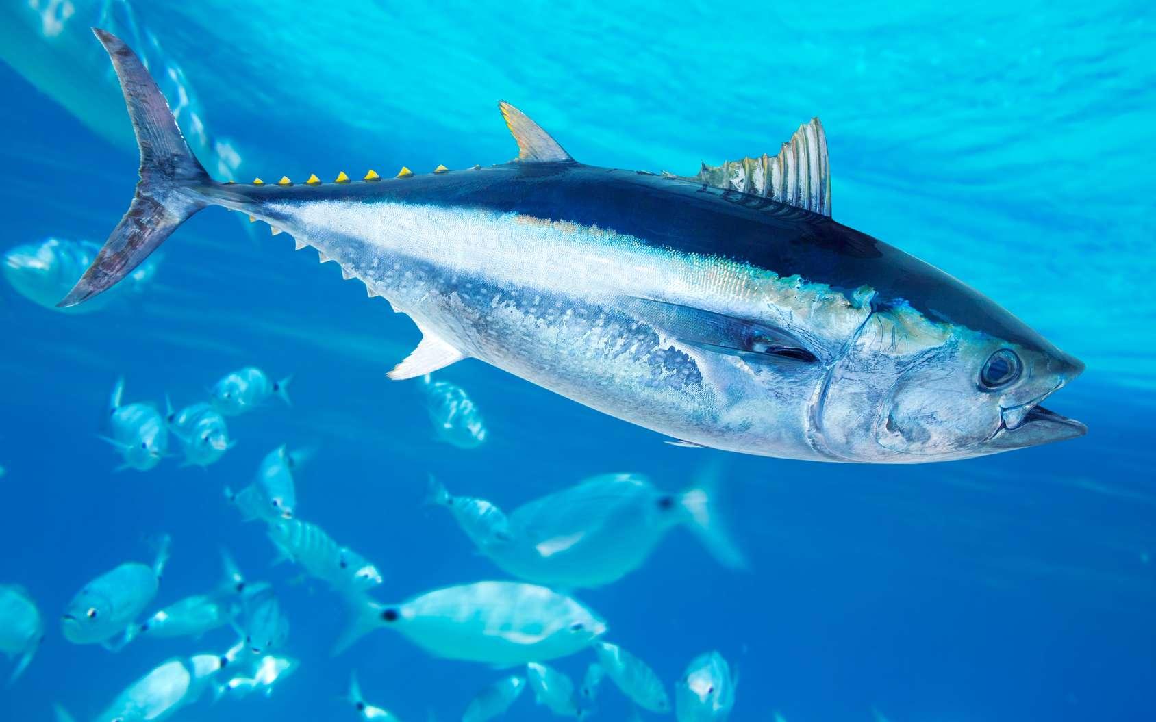 Le thon rouge est menacé par la surpêche. © lunamarina, Fotolia