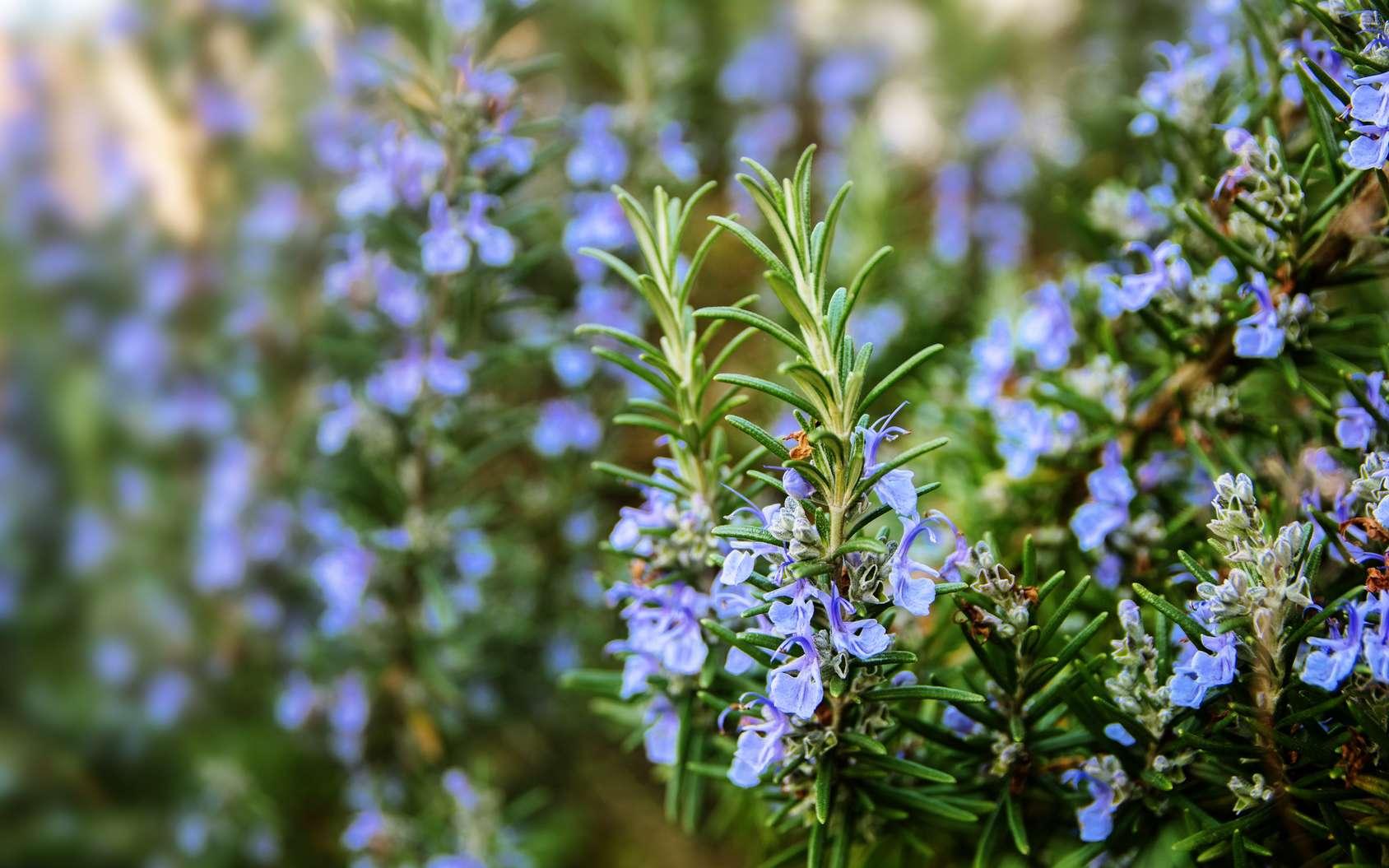 Le romarin est une plante aromatique qui produit des fleurs bleues comestibles, leur goût donne aux plats une saveur méditerranéenne. © Maren Winter, Fotolia