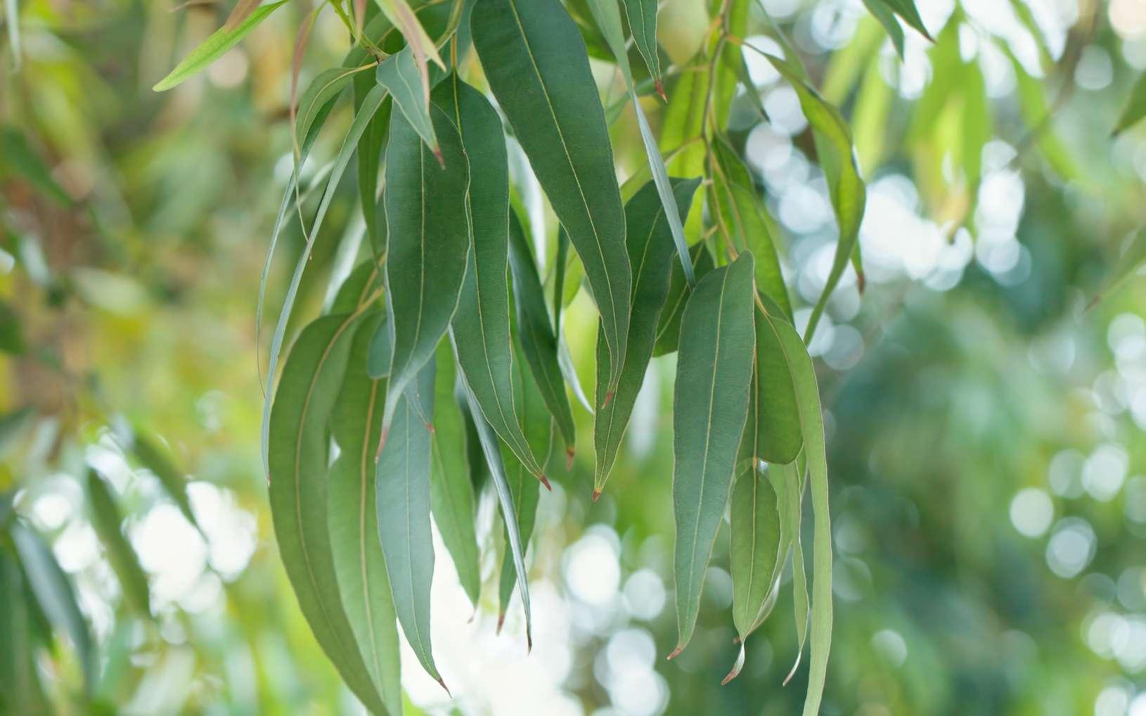 L'eucalyptus radié appartient à la famille botanique des Myrtacées et son organe producteur sont les feuilles. Cette espèce est la plus utilisée en pharmacie pour son huile essentielle. © janaph, Fotolia