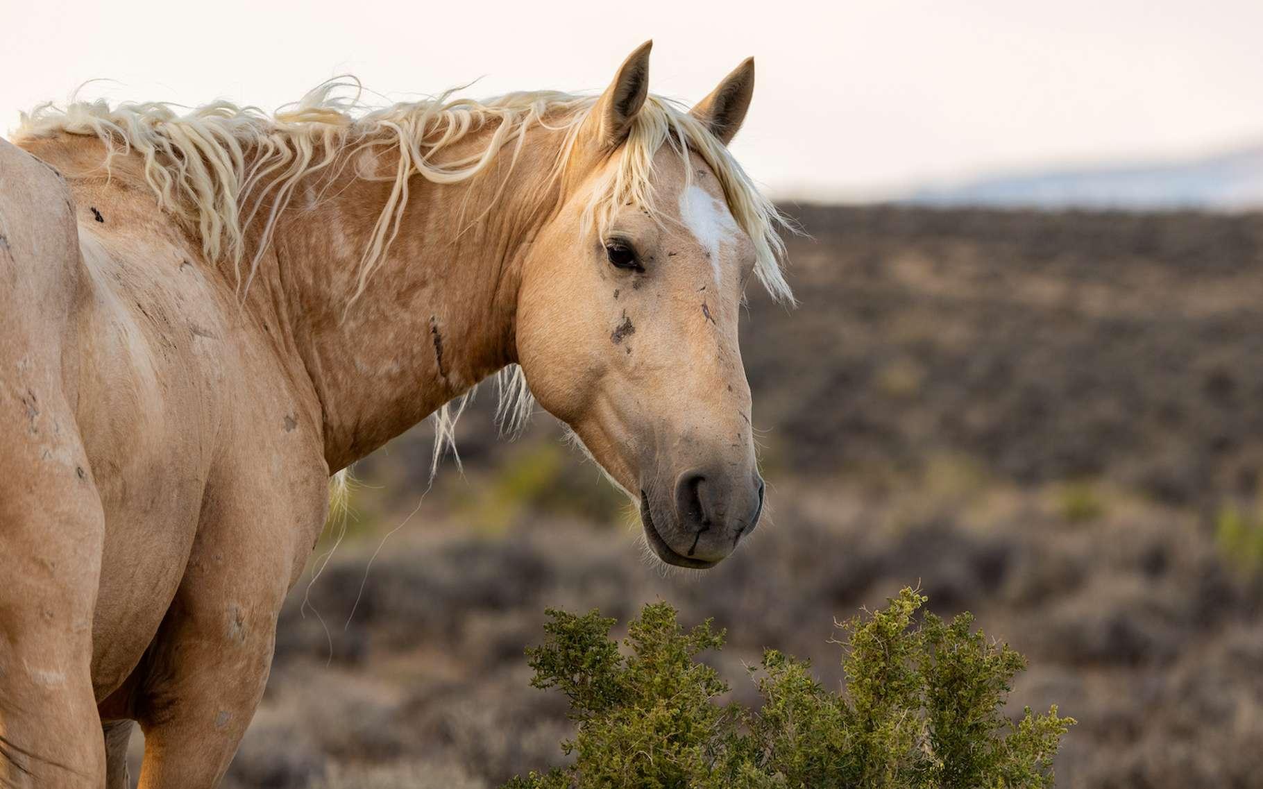 Des chercheurs de l'université technologique de Sydney (Australie) ont observé comment des puits creusés par des chevaux et des ânes sauvages peuvent servir de réserve d'eau à plusieurs dizaines d'autres espèces dans les régions désertiques. © Kerry Hargrove, Adobe Stock