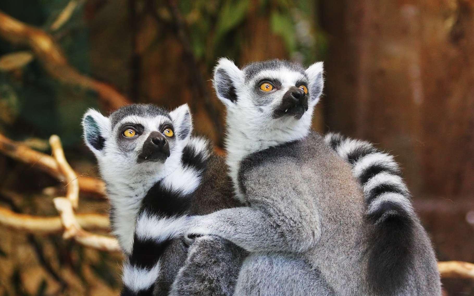 Le Maki catta est un lémurien reconnaissable à sa longue queue rayée de noir et de blanc. Ce sont des animaux diurnes qui vivent dans les arbres du sud de Madagascar. Le Maki catta est particulièrement populaire dans les zoos. Malheureusement, la destruction de son habitat et son commerce pourraient porter un coup fatal à l'espèce. Il n'en existerait même plus 2.000 spécimens à l'état sauvage. De quoi justifier le classement du Maki catta sur la liste des espèces en danger. © InspiredImages, Pixabay, CC0 Creative Commons