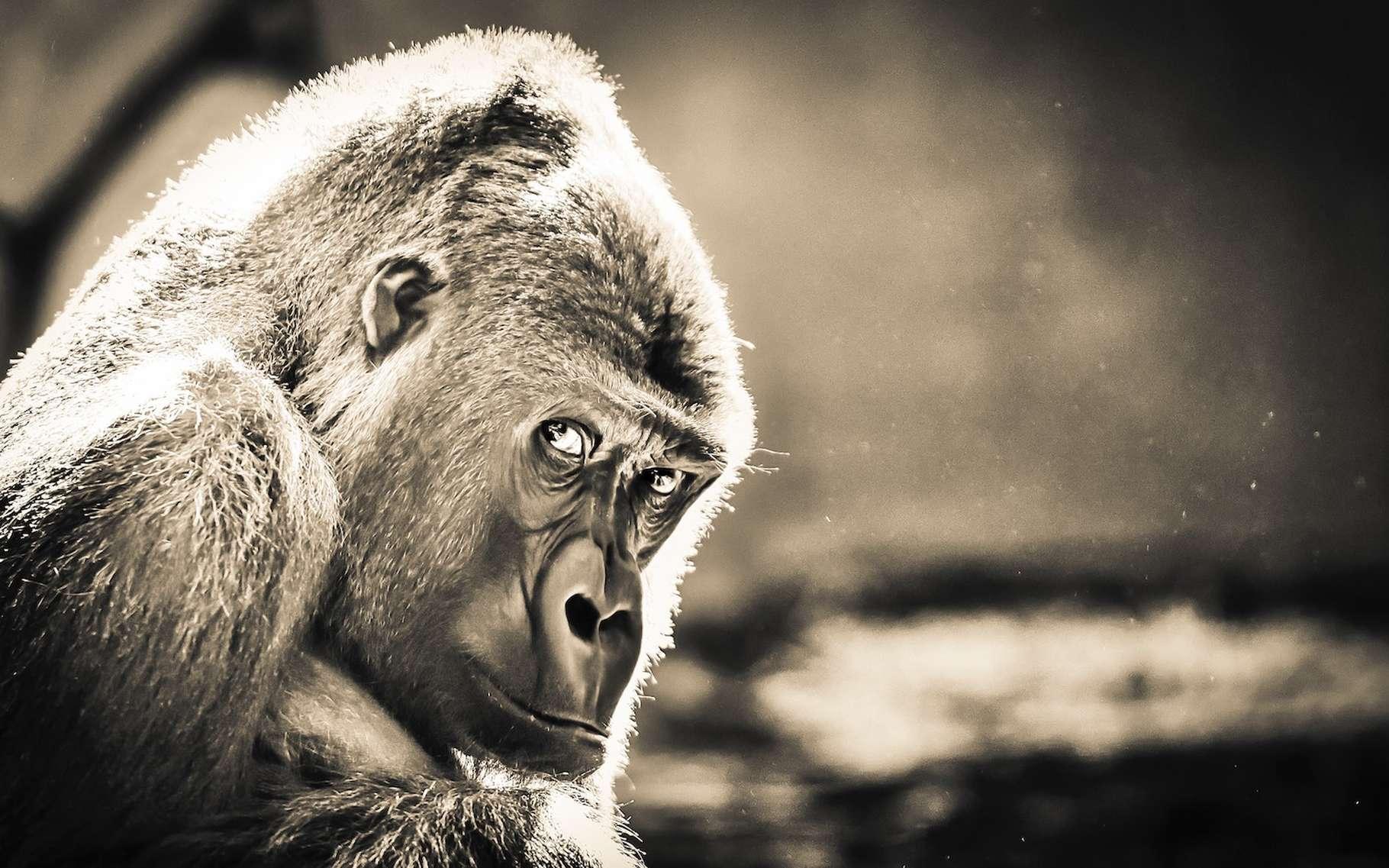 Des gorilles du zoo de Bristol (Royaume-Uni) se sont montrés capables de tricher. Un comportement que l'on pensait réservé aux humains. © Rob Tol, Unsplash