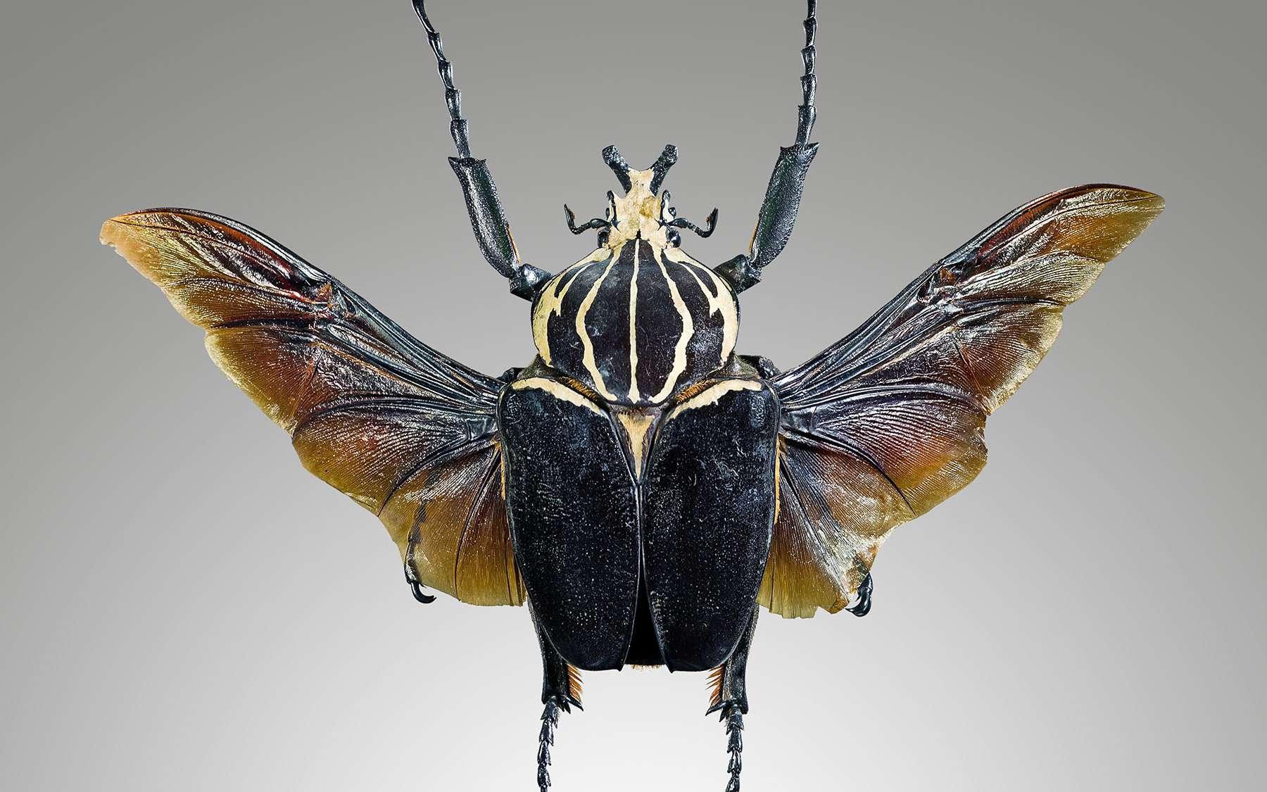 Le scarabée goliath, Goliathus goliathus. © Didier Descouens, Wikimedia Commons, CC by-sa 4.0