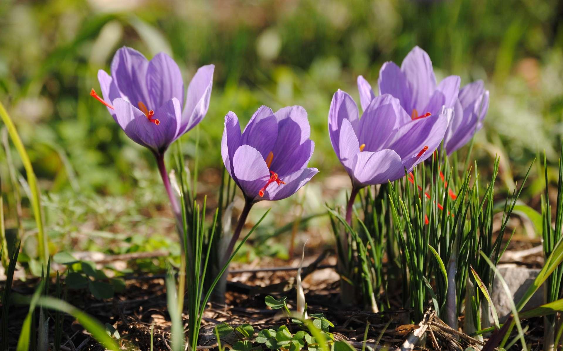 Crocus sativus peut se cultiver dans son carré de jardin. Ses filaments sont précieux et donnent la fameuse épice « safran » que l'on appelle aussi « or rouge. © Robert Casacci, Adobe Stock