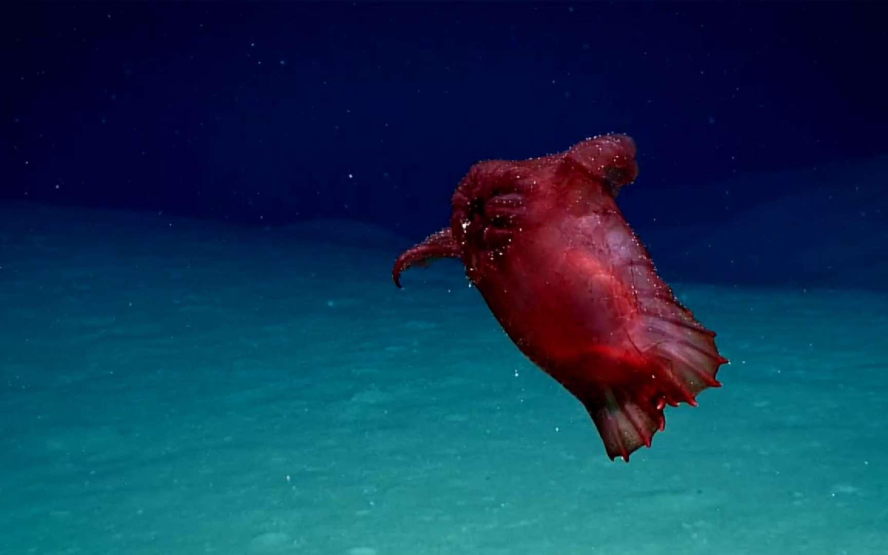 Un surprenant « poulet sans tête » a été découvert dans les abysses. © DR