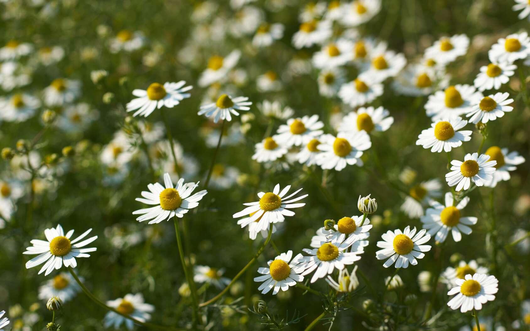 Les fleurs de camomille matricaire ne sont absolument pas toxiques, toutefois de rares cas d'allergie ou de dermites de contact ont été décrits. © Johannes Menge, Fotolia