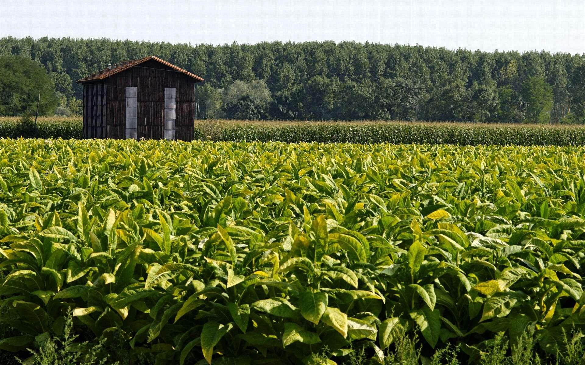 Plantation de tabac dans le Lot-et-Garonne ; séchoir à tabac en arrière-plan. © Roméo Balancourt.