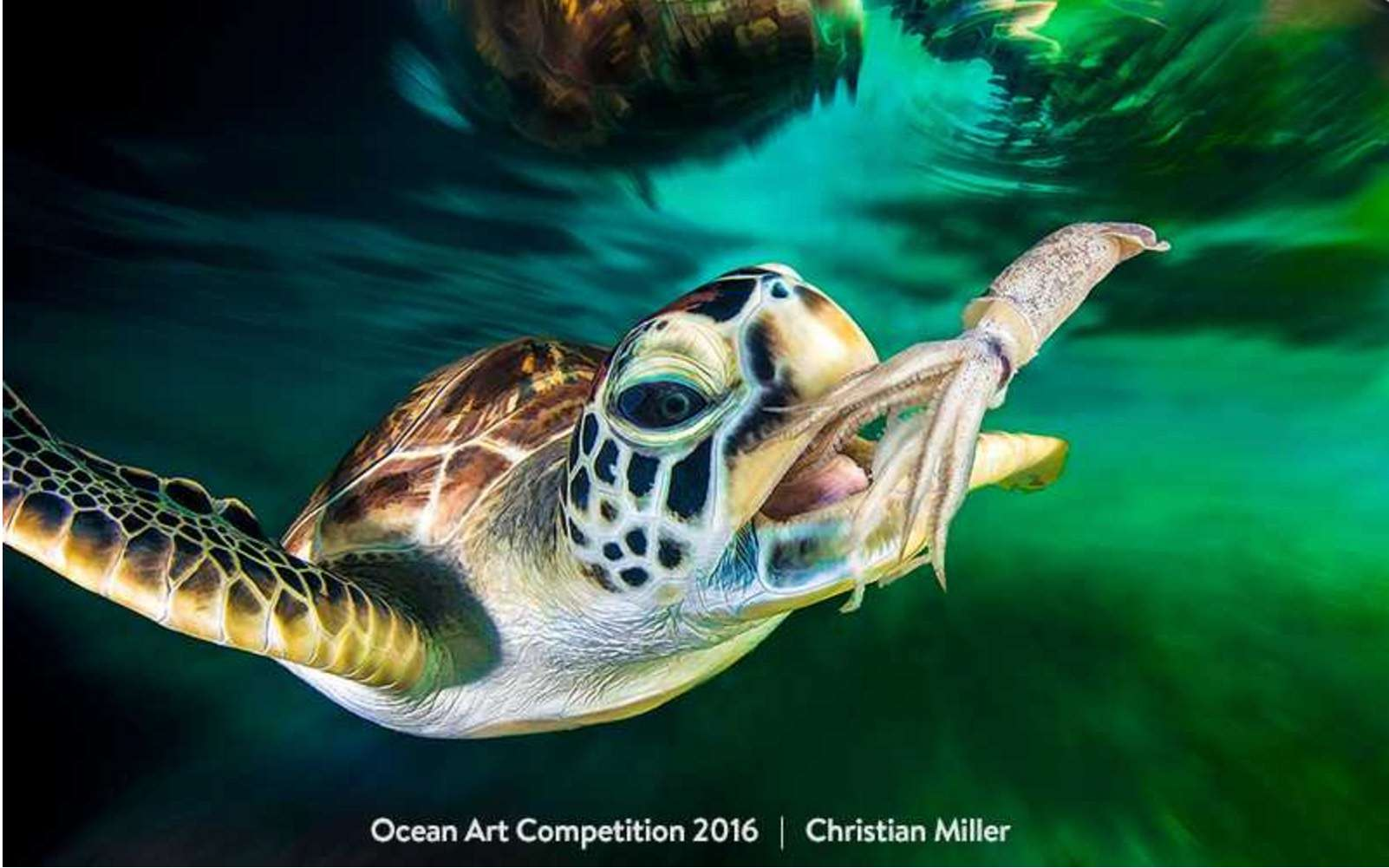 Les effectifs de la tortue marine sont en régression du fait des activités humaines. © Ocean Art Competition 2016, Christian Miller