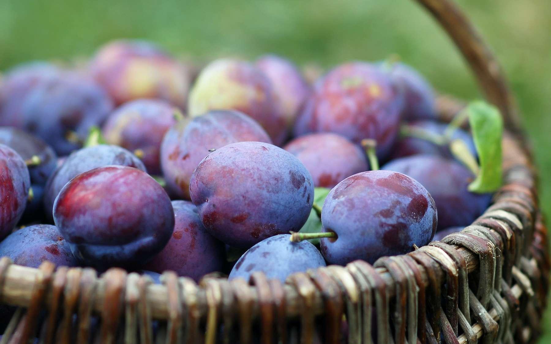 La quetsche, une prune originaire d'Alsace, à déguster nature ou en tarte. © Alkimson, Adobe Stock