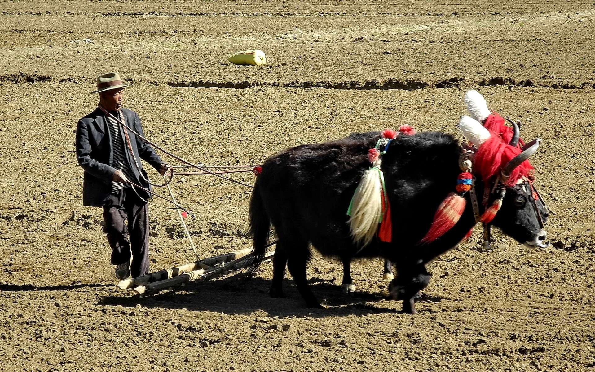 Dans le labour traditionnel au Tibet, le yak domestique est utilisé comme bête de somme mais il fournit en outre laine, cuir, viande, lait et fromage. © Dr Michel Royon, Wikimedia Commons