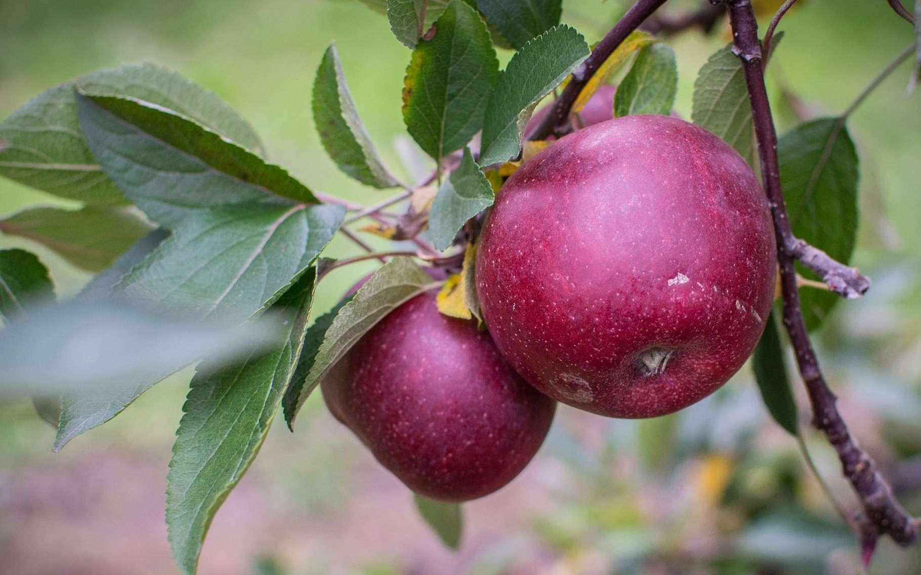Les délicieuses pommes d'automne. © Americain trails, Pixabay, DP
